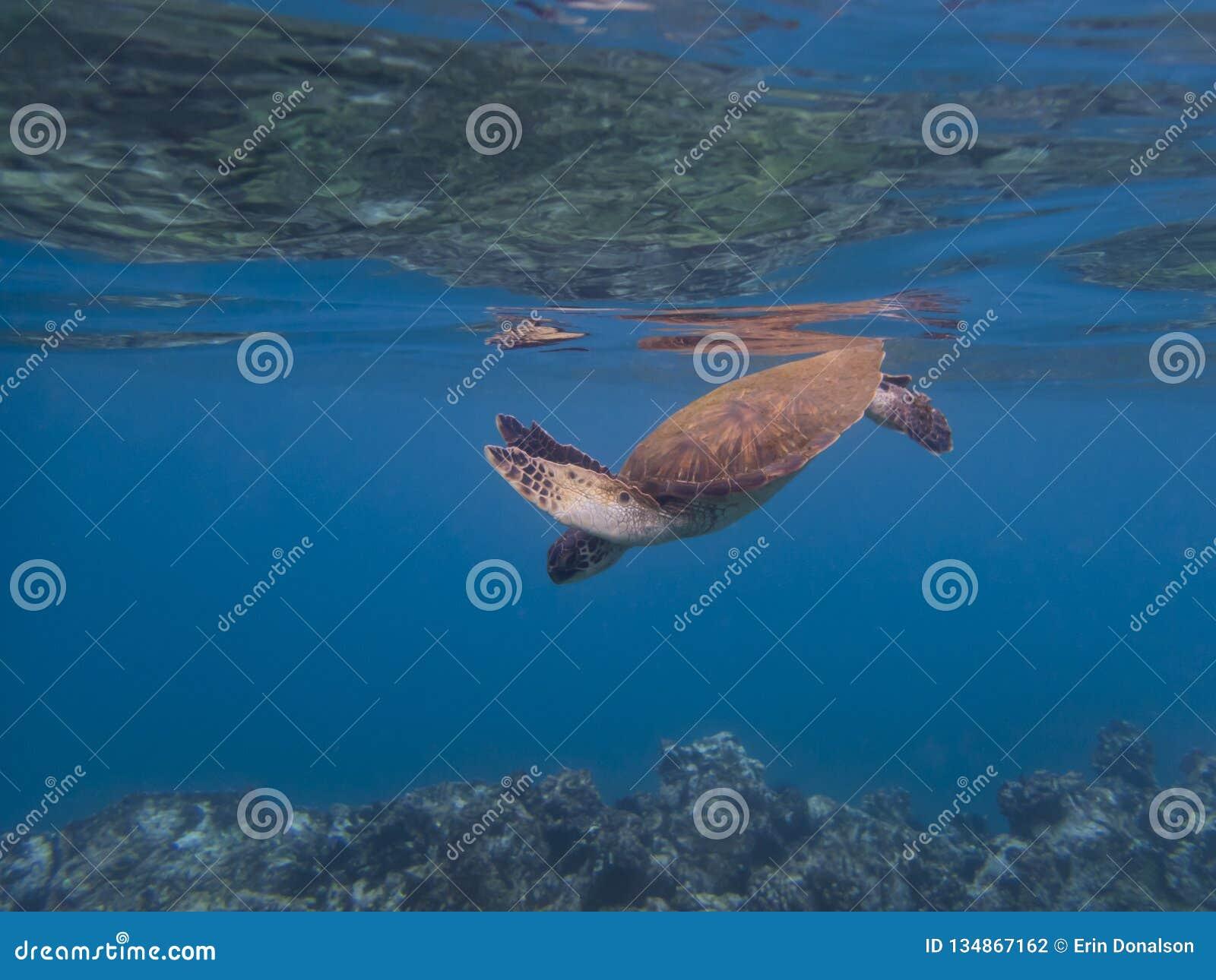 Récif bleu clair d océan d eau du fond de tortue de mer au-dessous de la surface ci-dessus