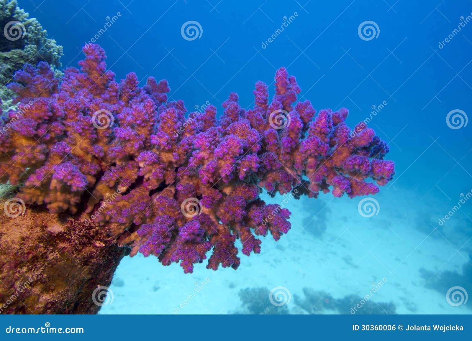 Récif coralien avec le corail rose de pocillopora au fond de la mer tropicale
