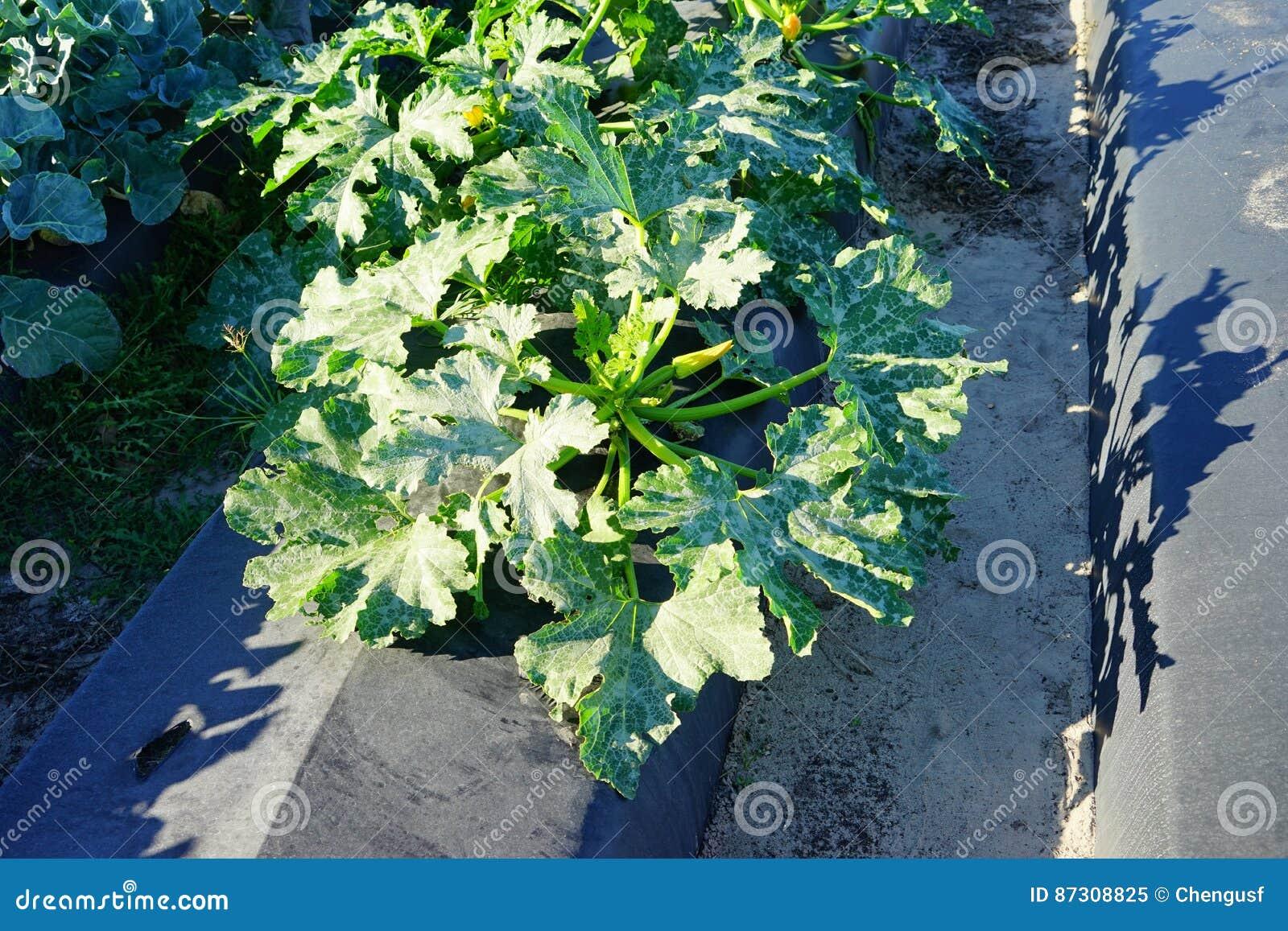 Recolte De Chou Fleur Image Stock Image Du Earth Cour 87308825