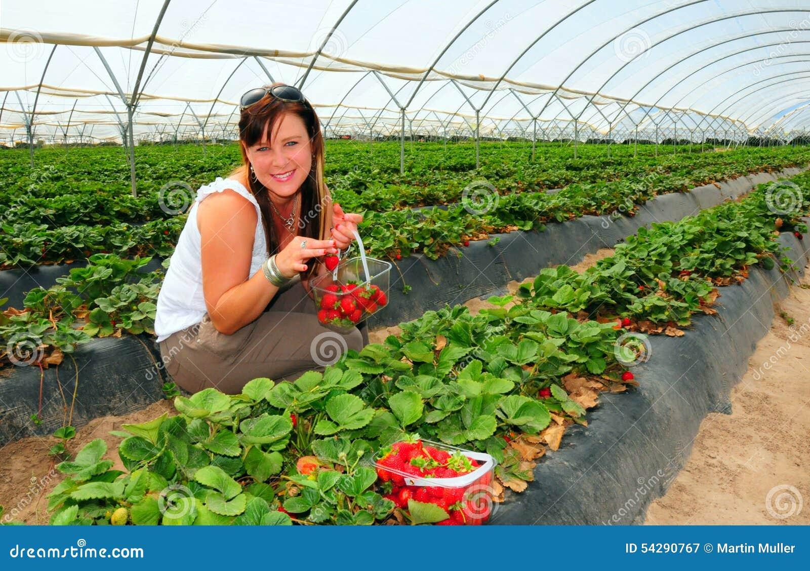 Récolte de fraise