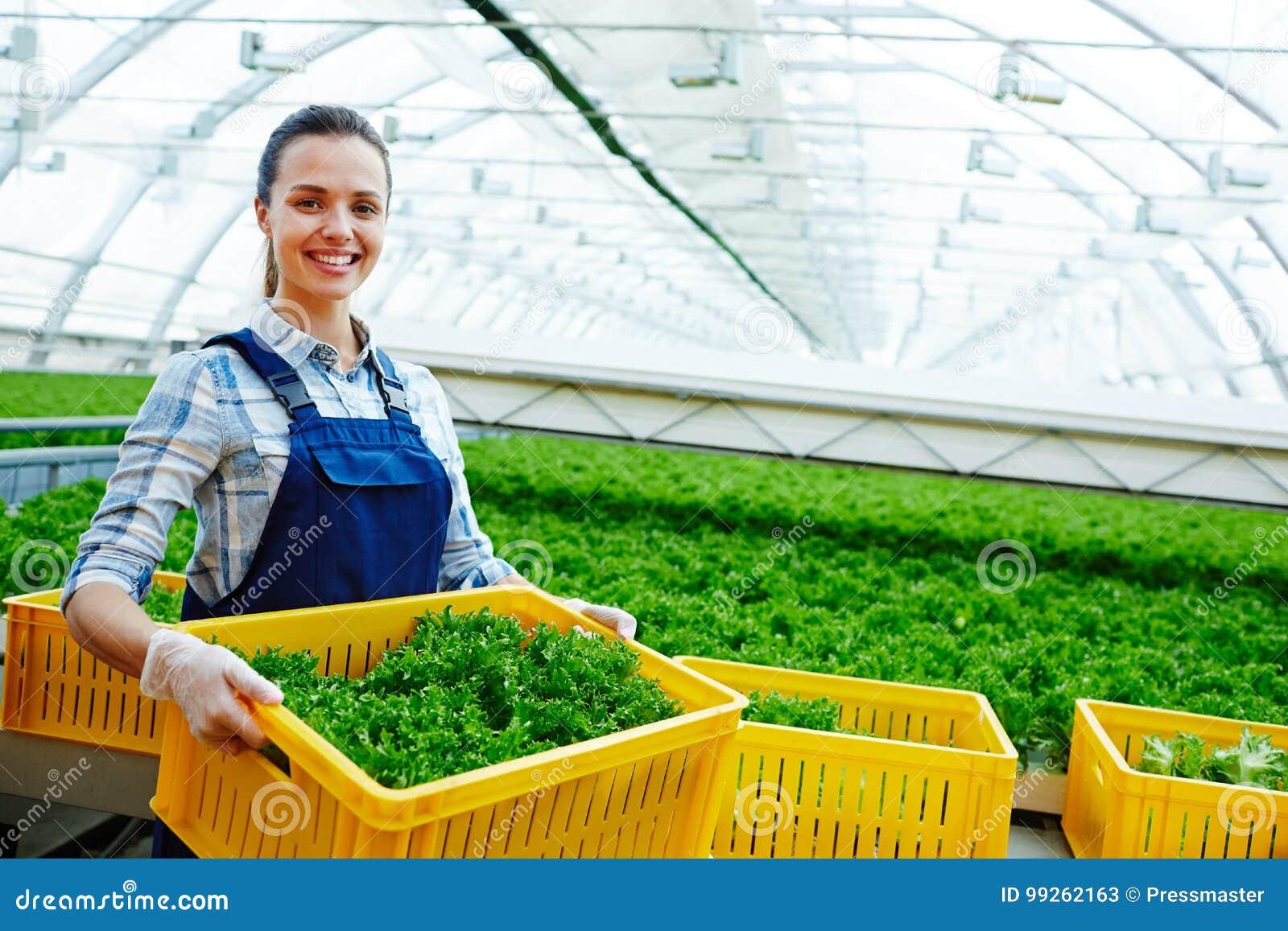 Récolte de laitue