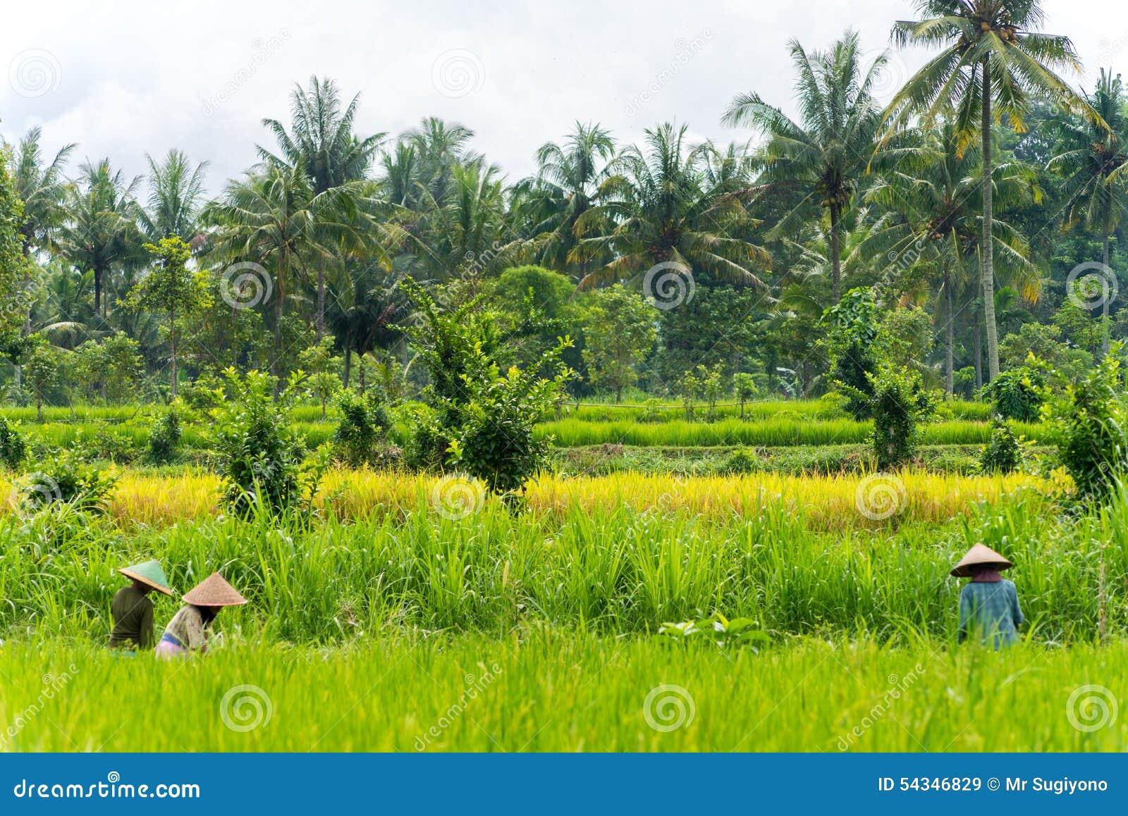 Récolte indonésienne d agriculteur leurs cultures