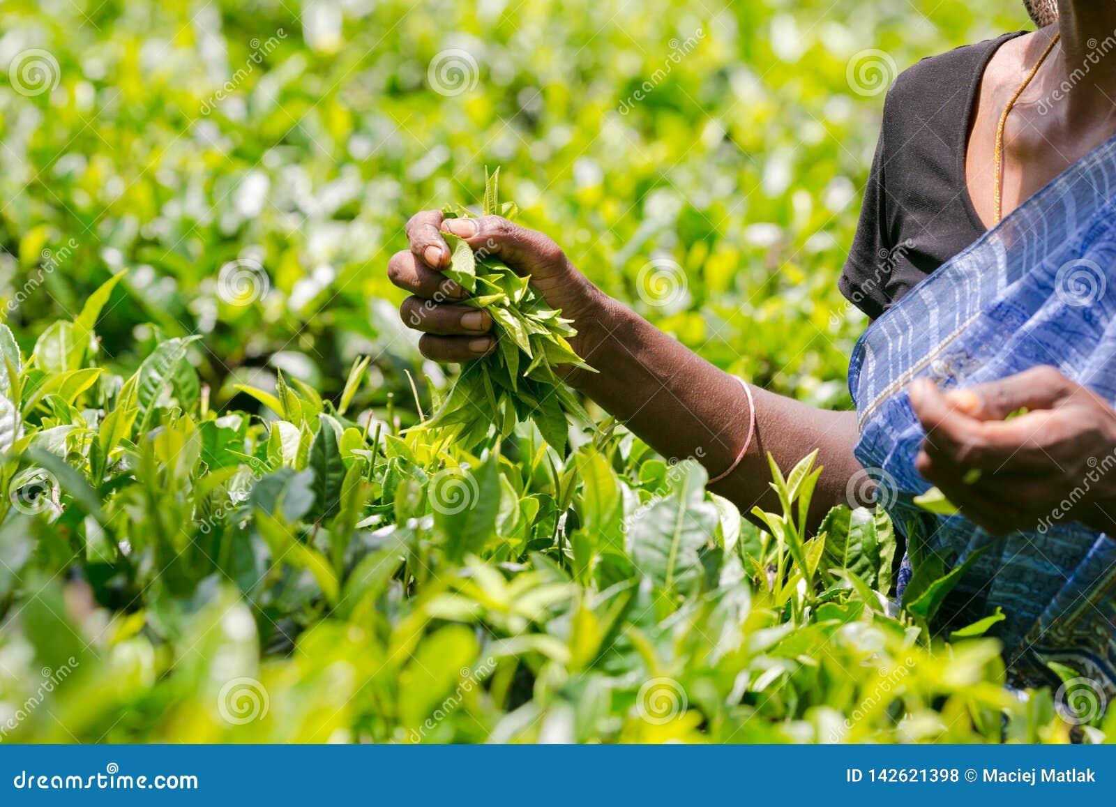 Récolteuse de thé tenant les feuilles de thé fraîches