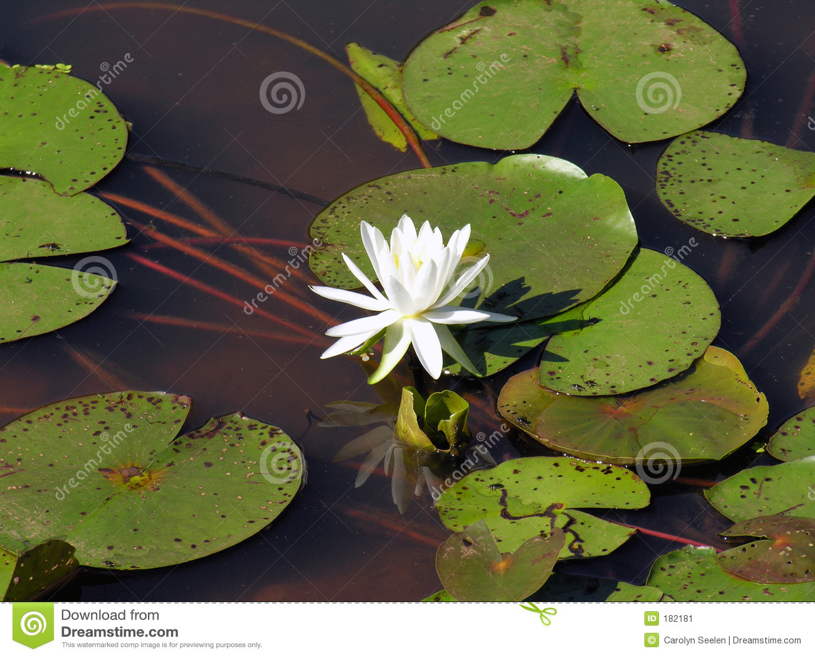 Réflexion de lotus