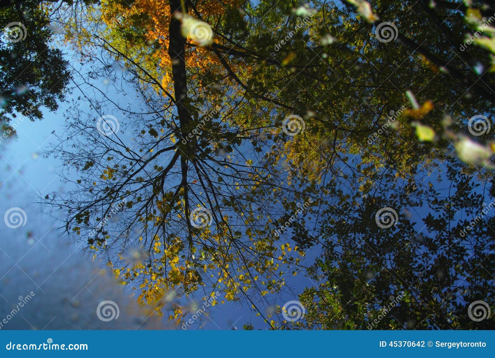 Réflexion des arbres d automne