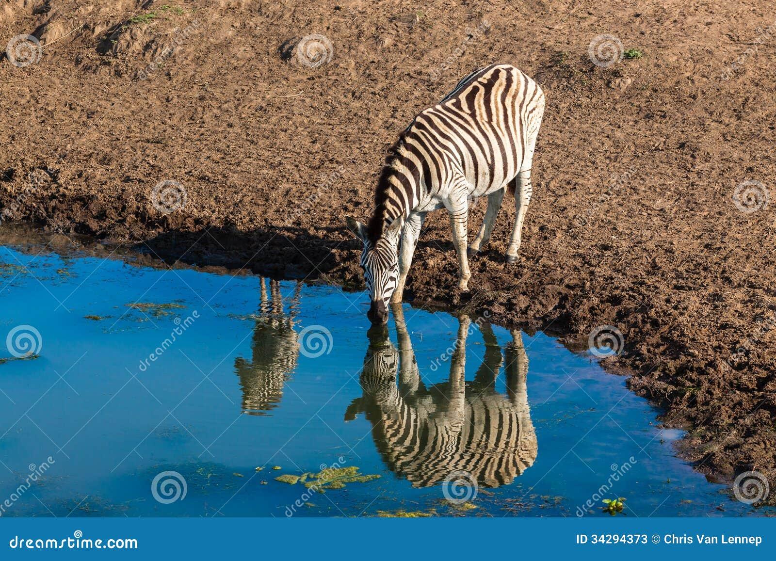 Réflexions de miroir de l eau de veau de zèbre