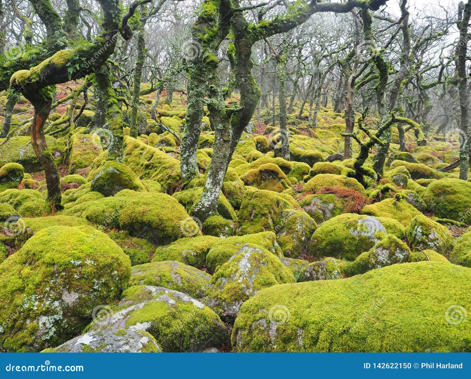 Région boisée de chêne de taillis de Noir-un-massif de roche avec les lichens et les mousses verts, parc national de Dartmoor,
