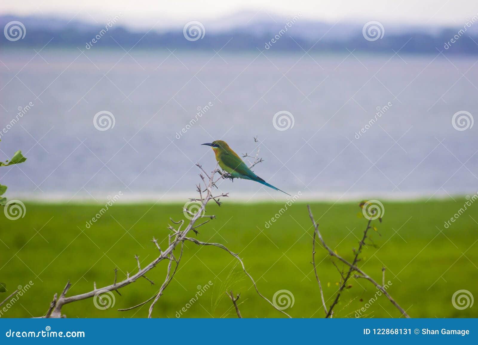 Réserve d oiseaux Sri Lanka d Attidiya