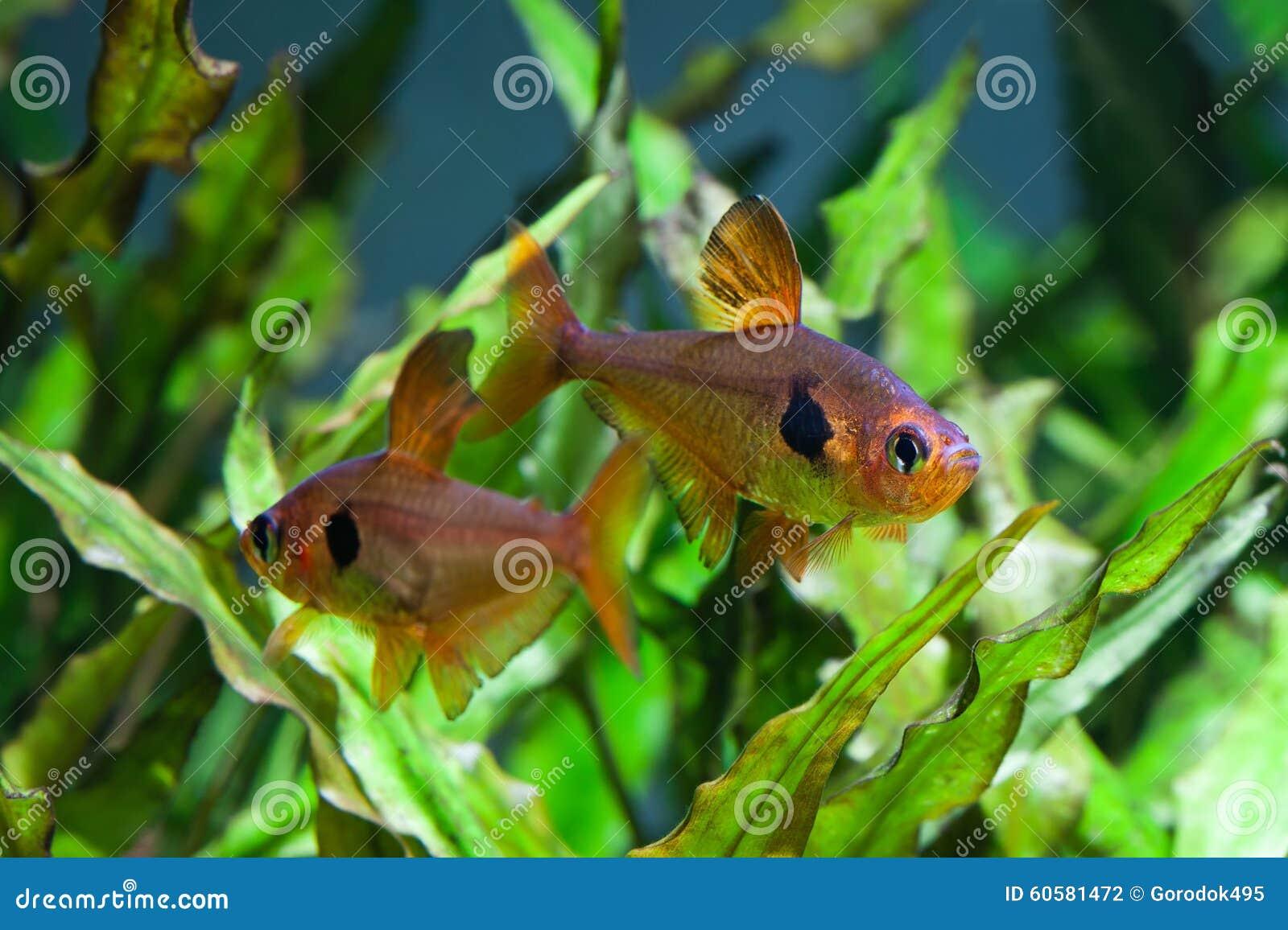 r servoir d 39 eau douce d 39 aquarium avec de t tra poissons photo stock image du instruction live. Black Bedroom Furniture Sets. Home Design Ideas
