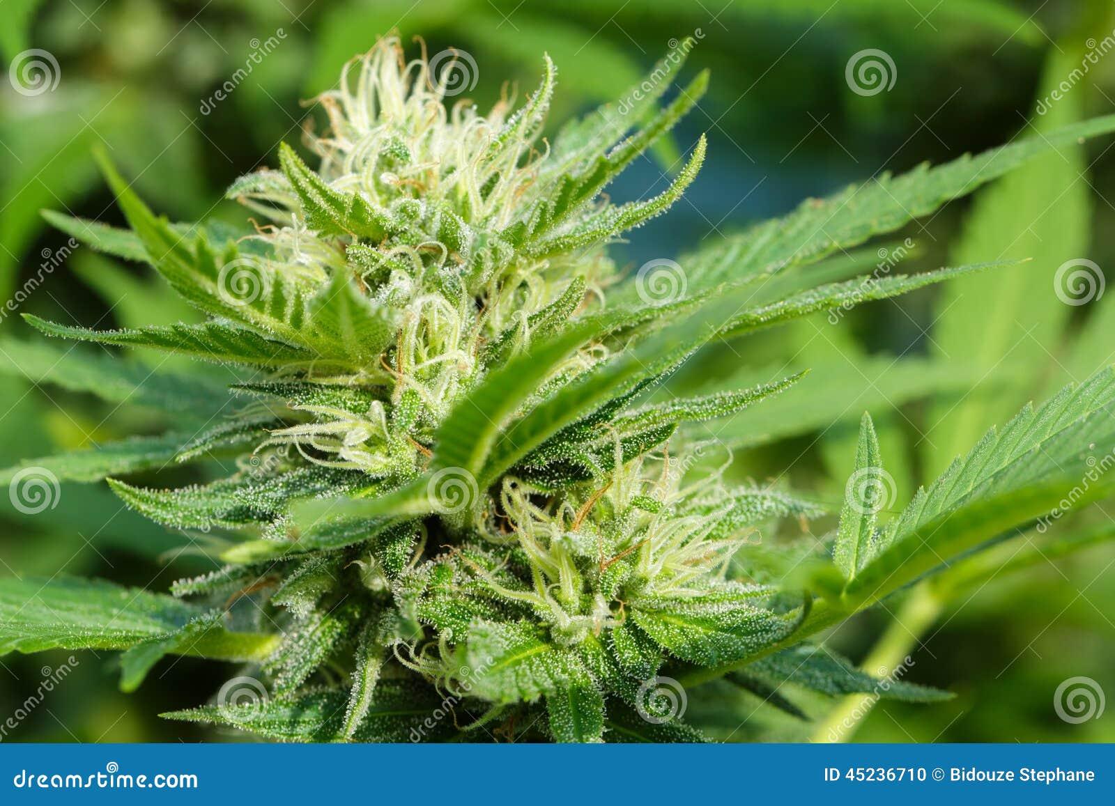 Résine de cannabis sur le flowerhead