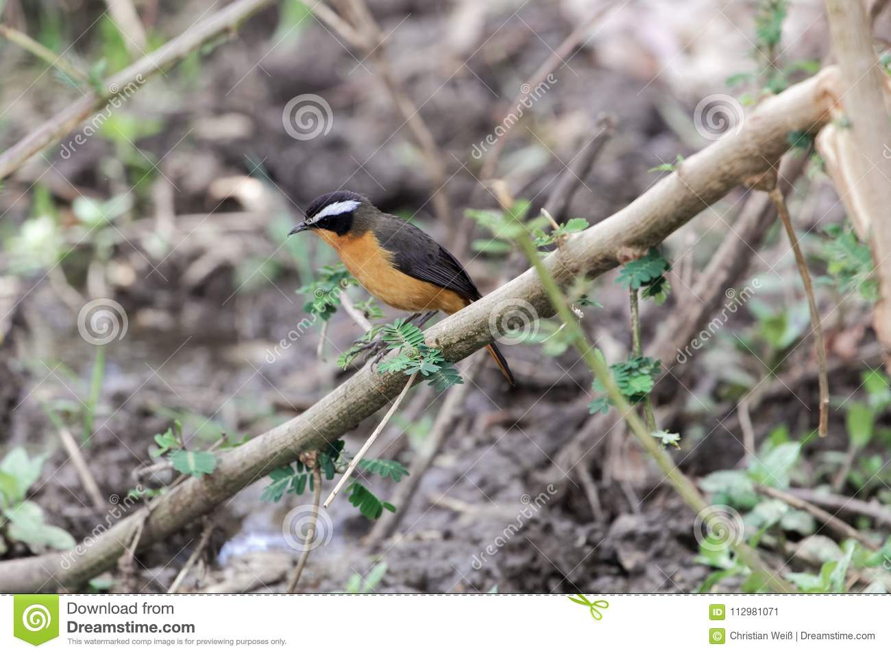 R�ppell`s robin-chat Cossypha semirufa