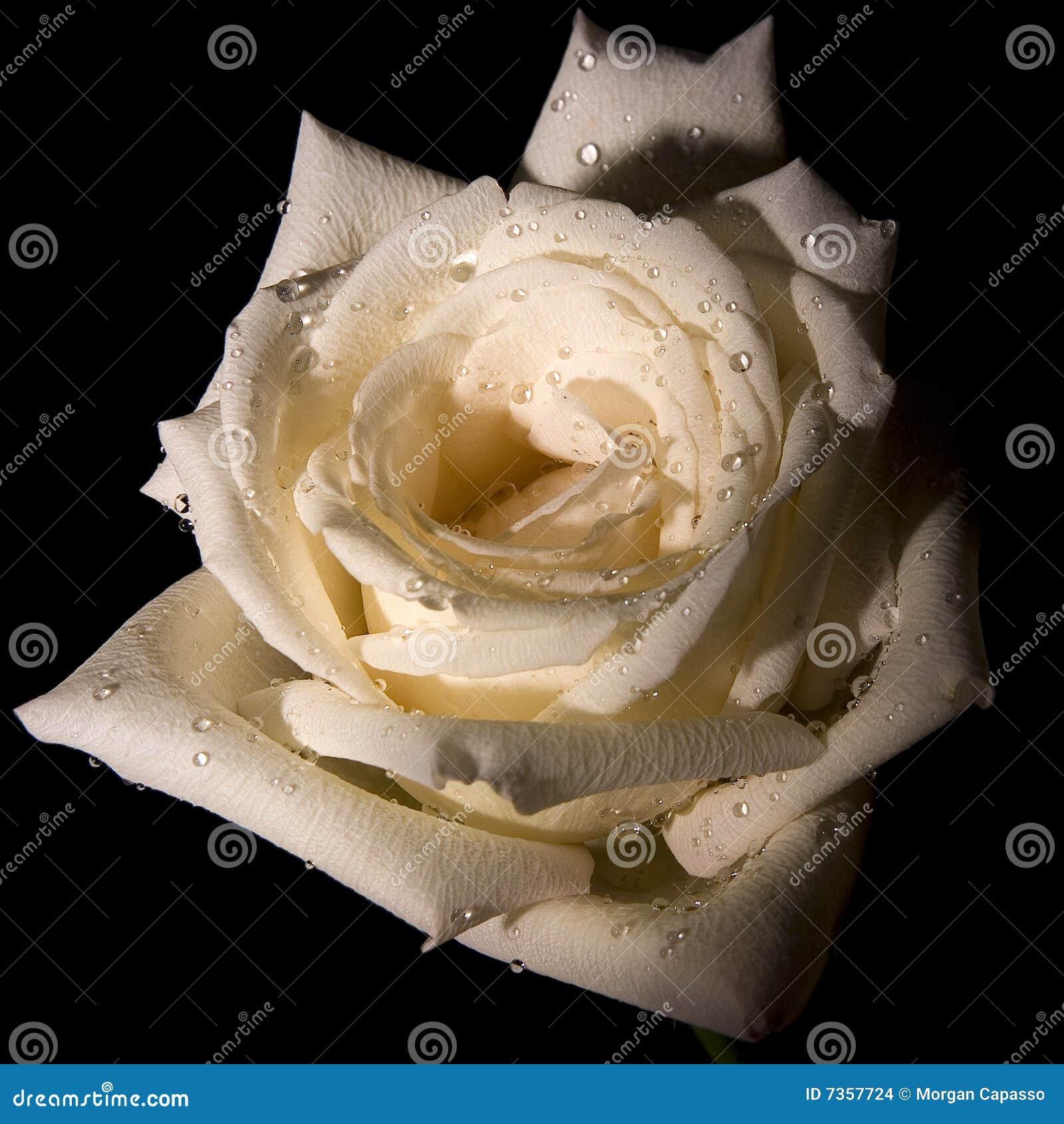 Róża dekoracyjny biel