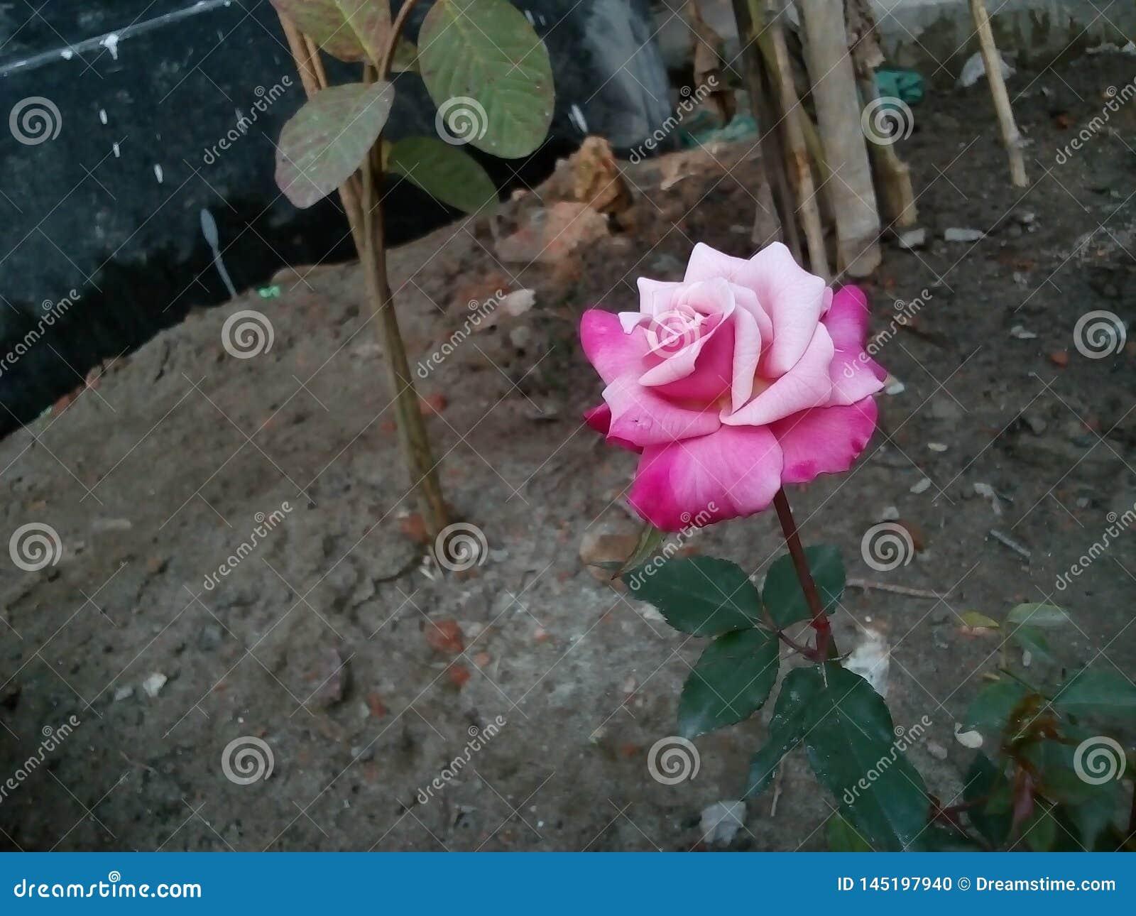 Róża jest piękna ponieważ miłość jest czysta nasz życie