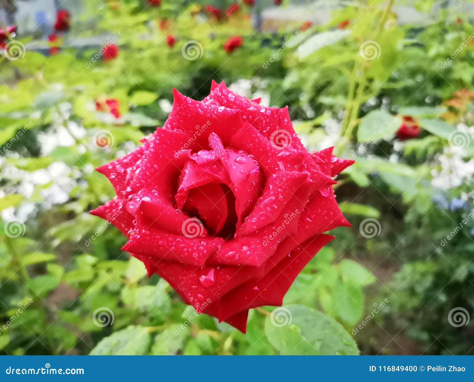 Róża z deszcz kroplą w ranku