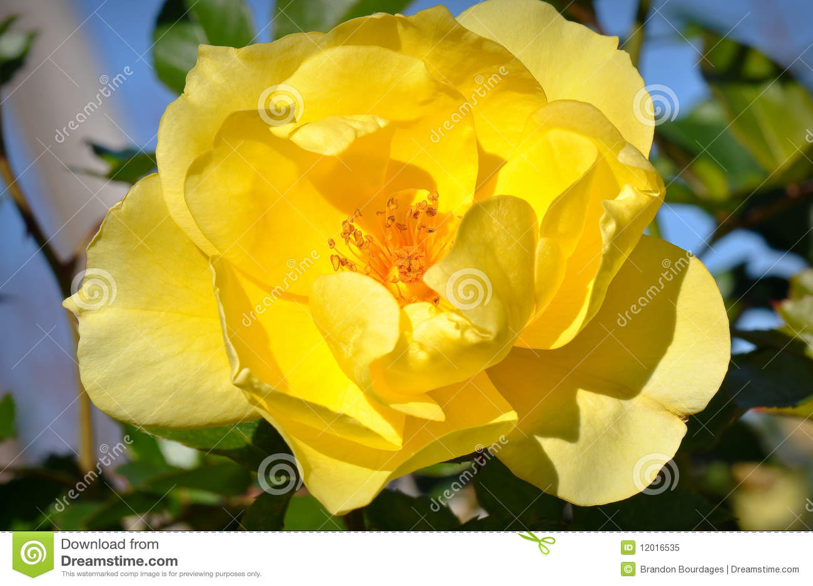 Różany kolor żółty