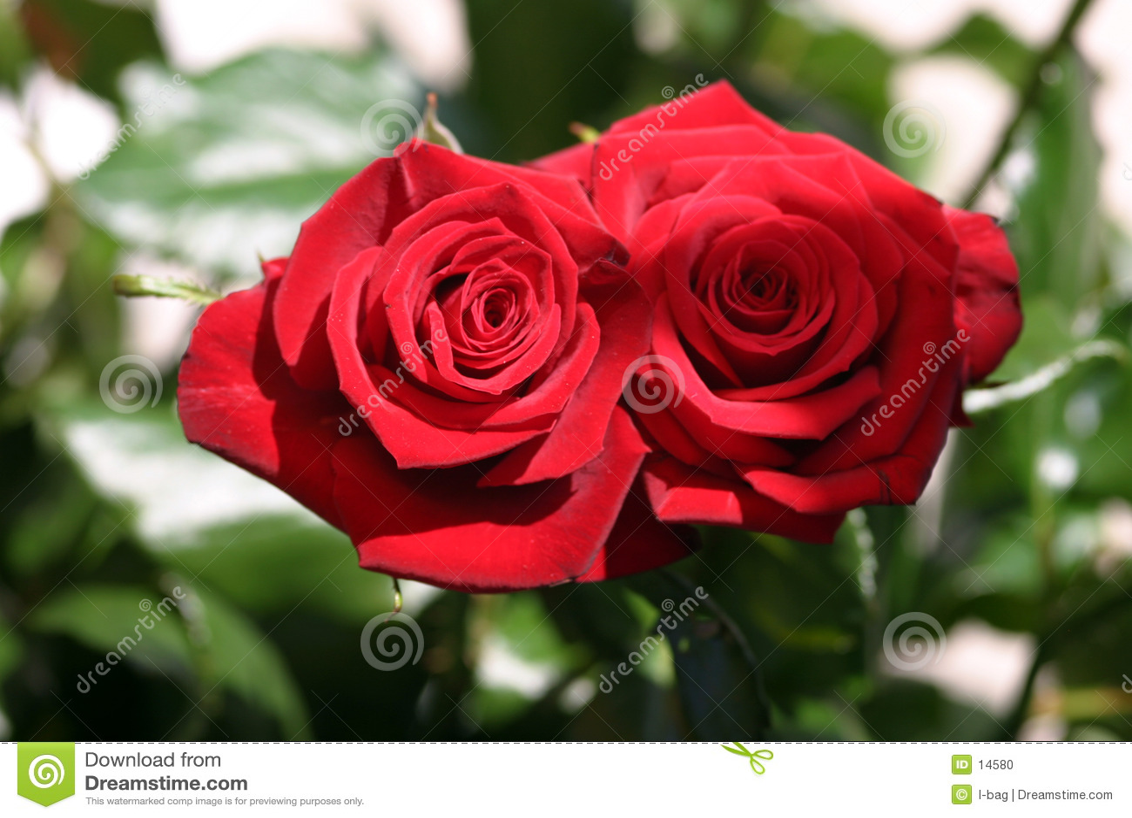 Róże się dwa