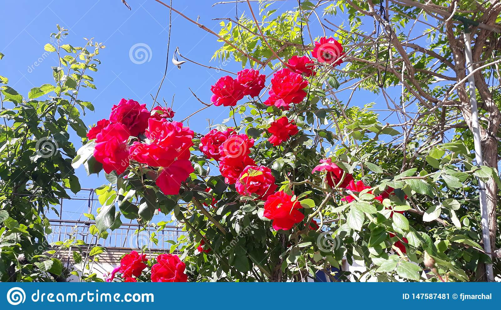 Róże w Igualada