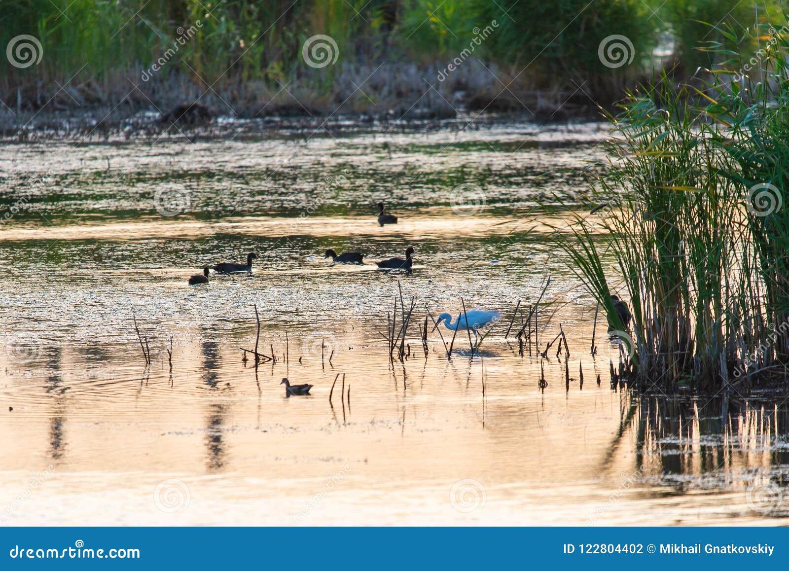 Różni ptaki przy wschód słońca na jeziorze mgły domu krajobrazu ranek sylwetki drzewa Ważny przystanek dla ptaków Migruje między