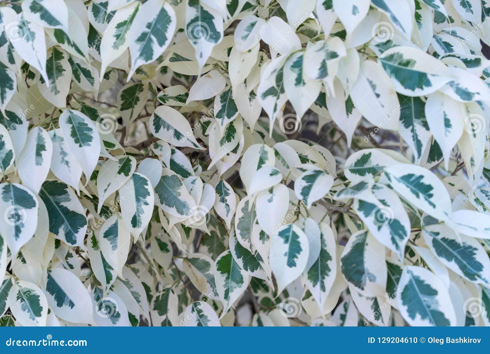 Różnobarwny ficus beniamin jako natury tło