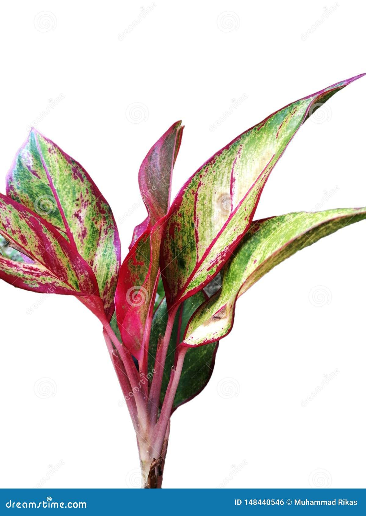 Różny typ hawajczyka ti roślina