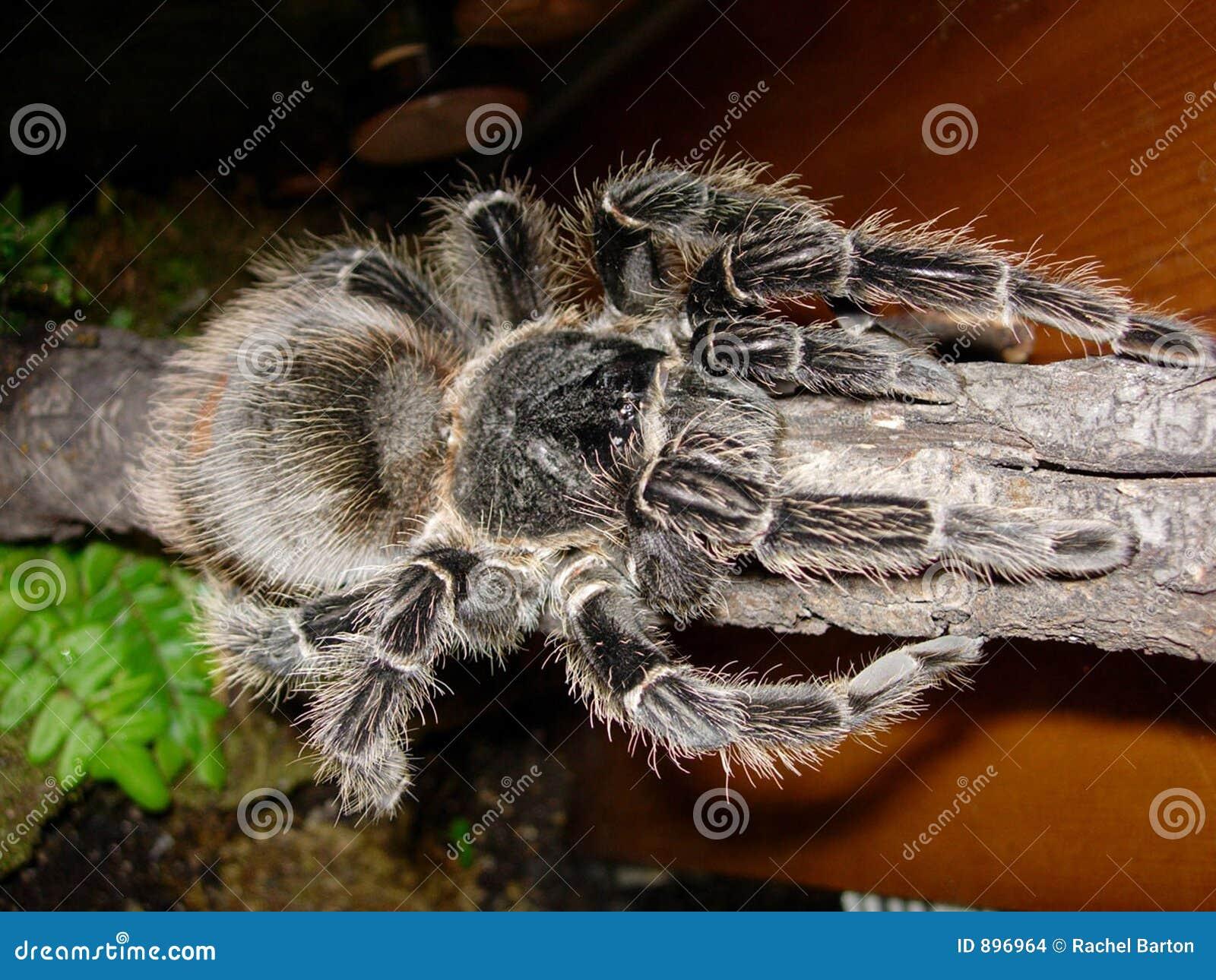 Różowa birdeater tarantula łososiowa
