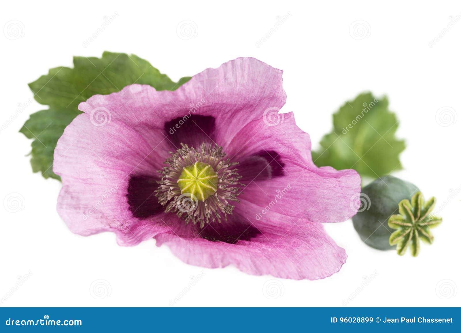 Różowa Purpurowa opiumowego maczka pracowniana wycinanka na bielu