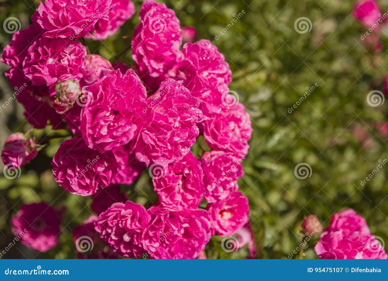 Różowa purpury róża po lato deszczu w świetle słonecznym