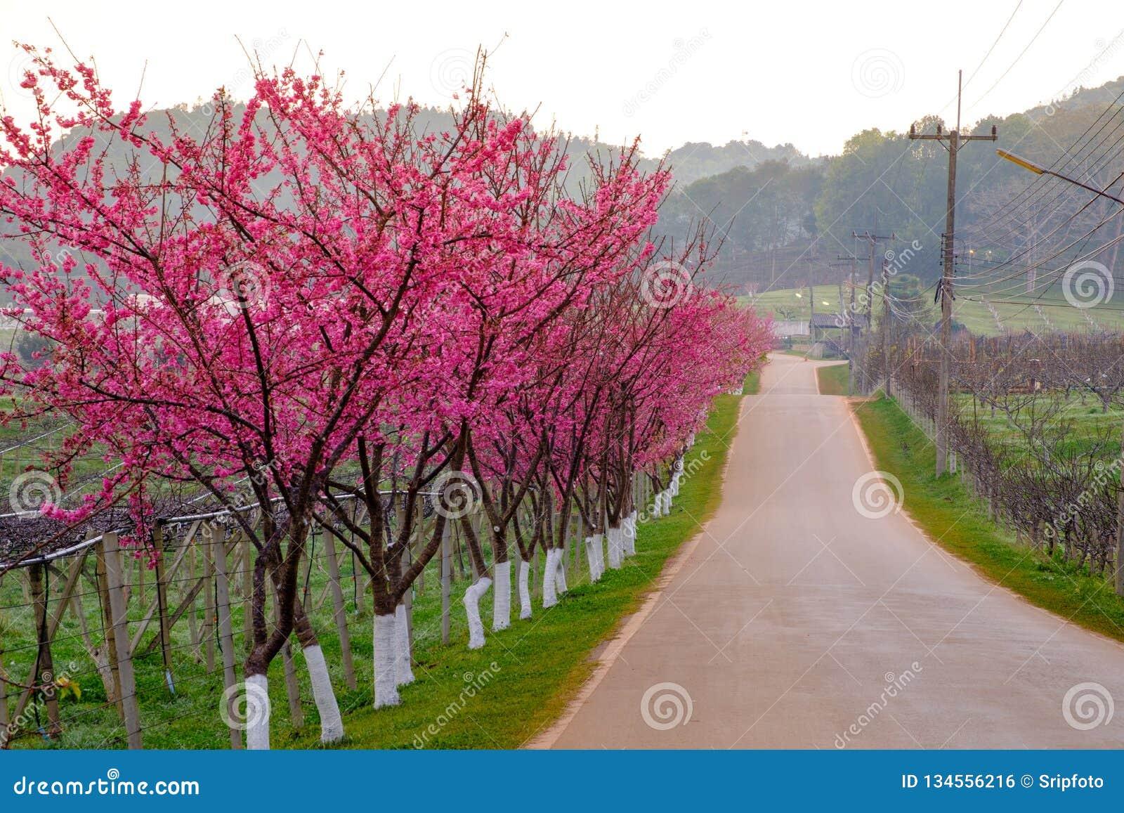 Różowa trasa czerpał od pięknego Sakura, Czereśniowi okwitnięcia w doi angkhang halny Królewski Rolniczy Stacyjny Angkhang,