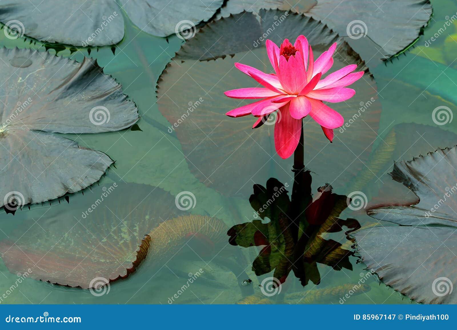 Różowa wielka wodna leluja i odbicie