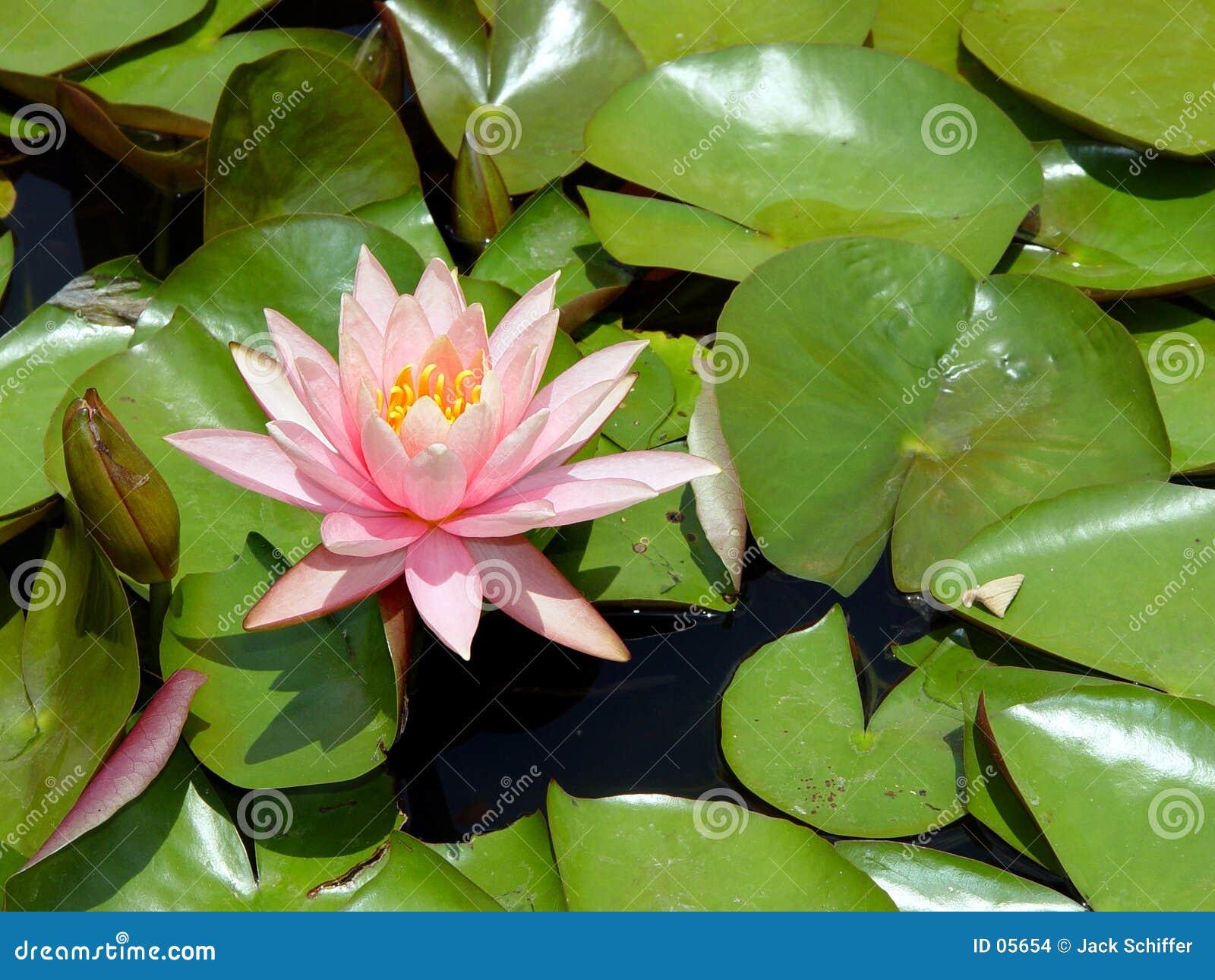 Różowa woda lilii