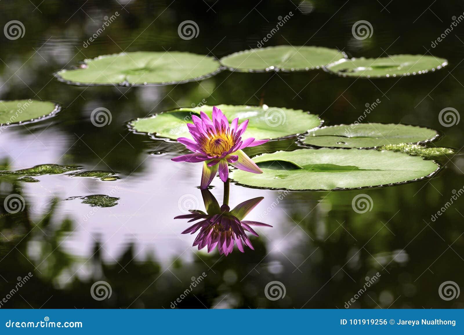 Różowa wodna leluja z odbiciem w stawie