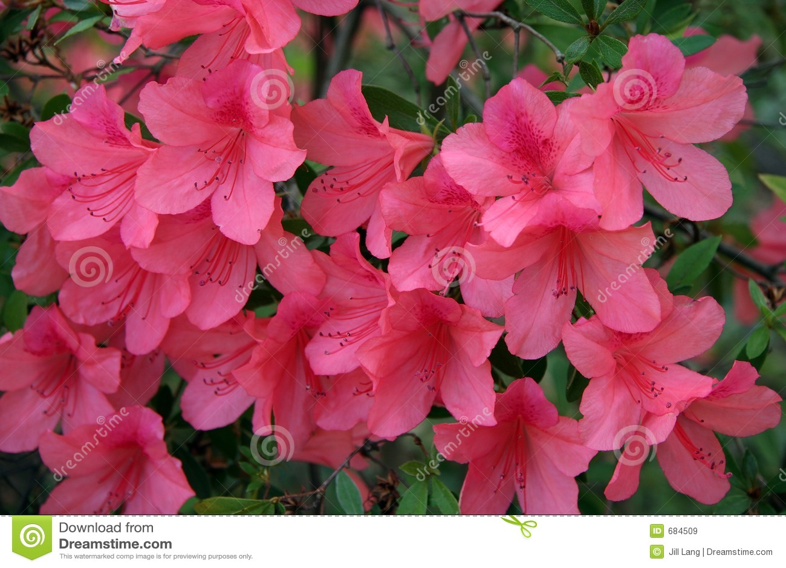 Różowe kwiaty brzoskwini azalea