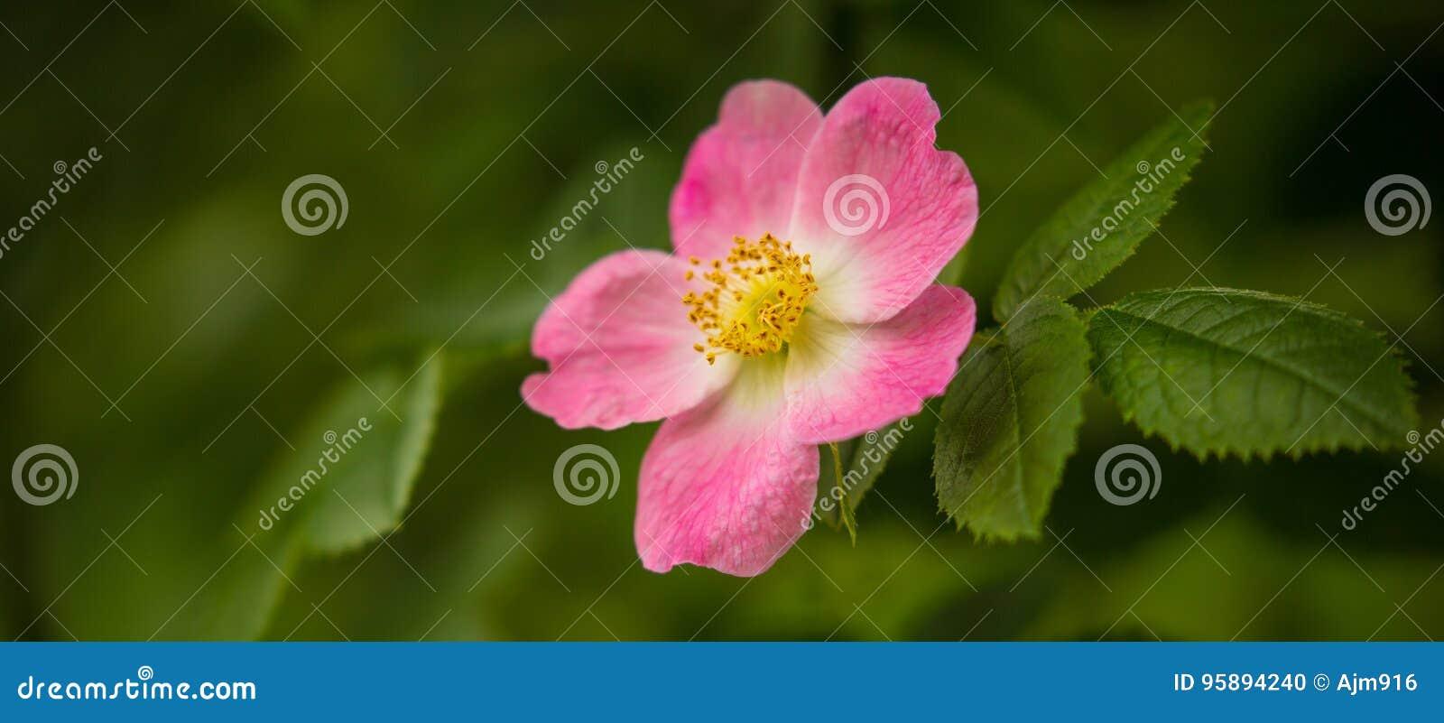 Różowego biodra Dziki kwiat w zielonym lesie
