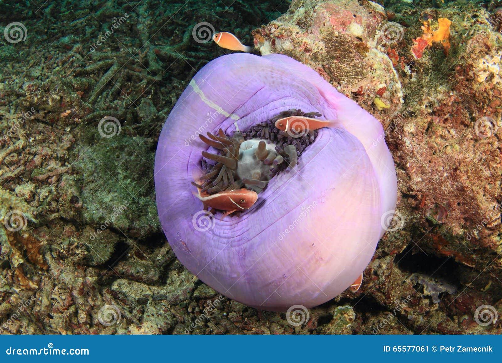 Różowi anemonfish