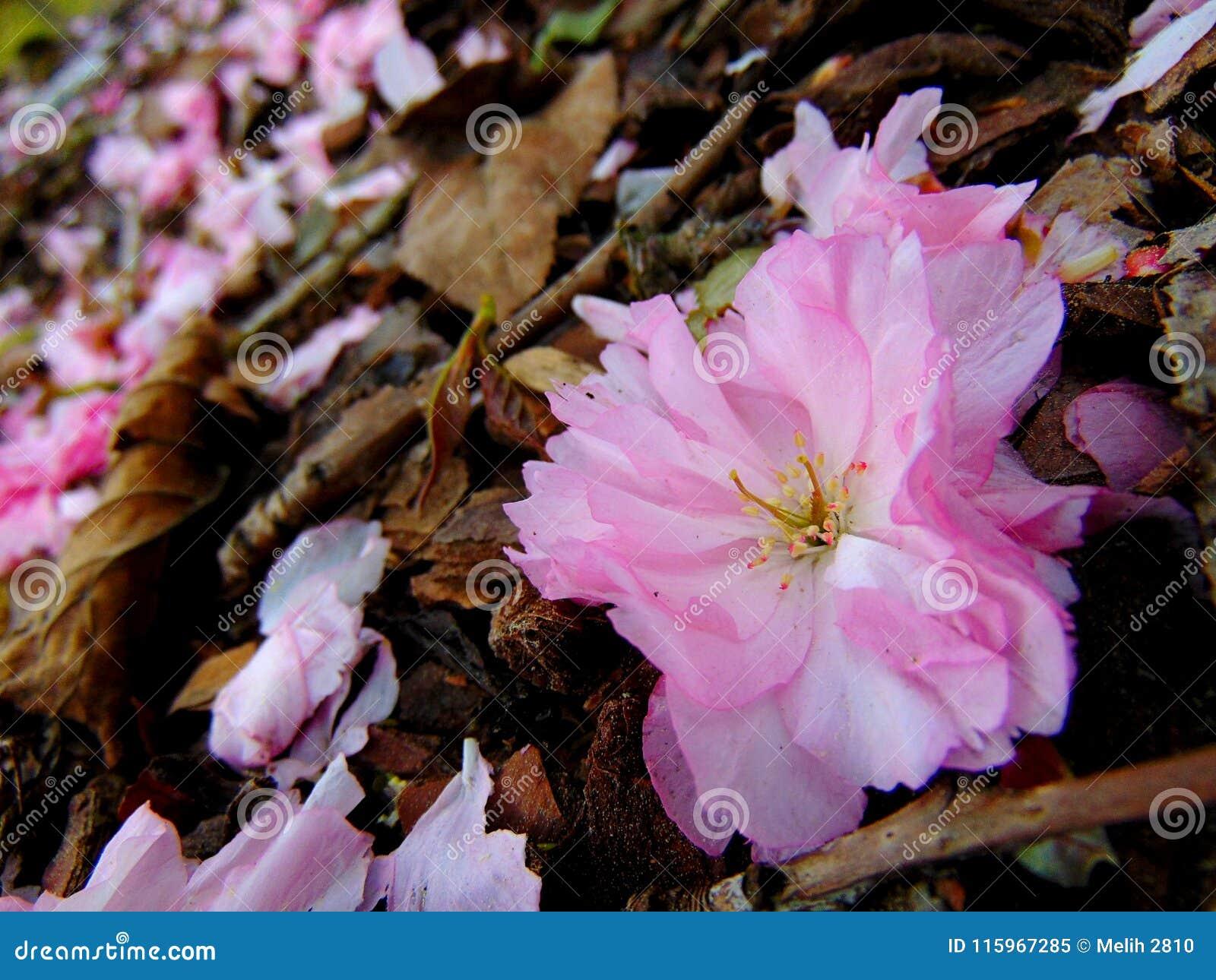 Różowi czereśniowego okwitnięcia płatki kłaść na ziemi barkentyna
