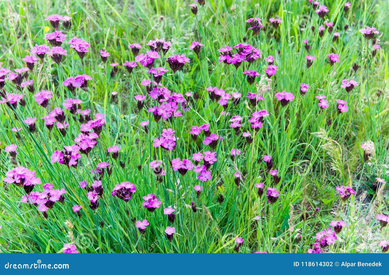 Różowi dzicy goździki na Transylvanian nietkniętych polach przy latem