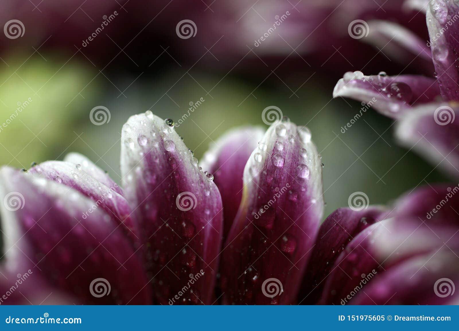 Różowi i biali płatki z malutkimi wodnymi kroplami