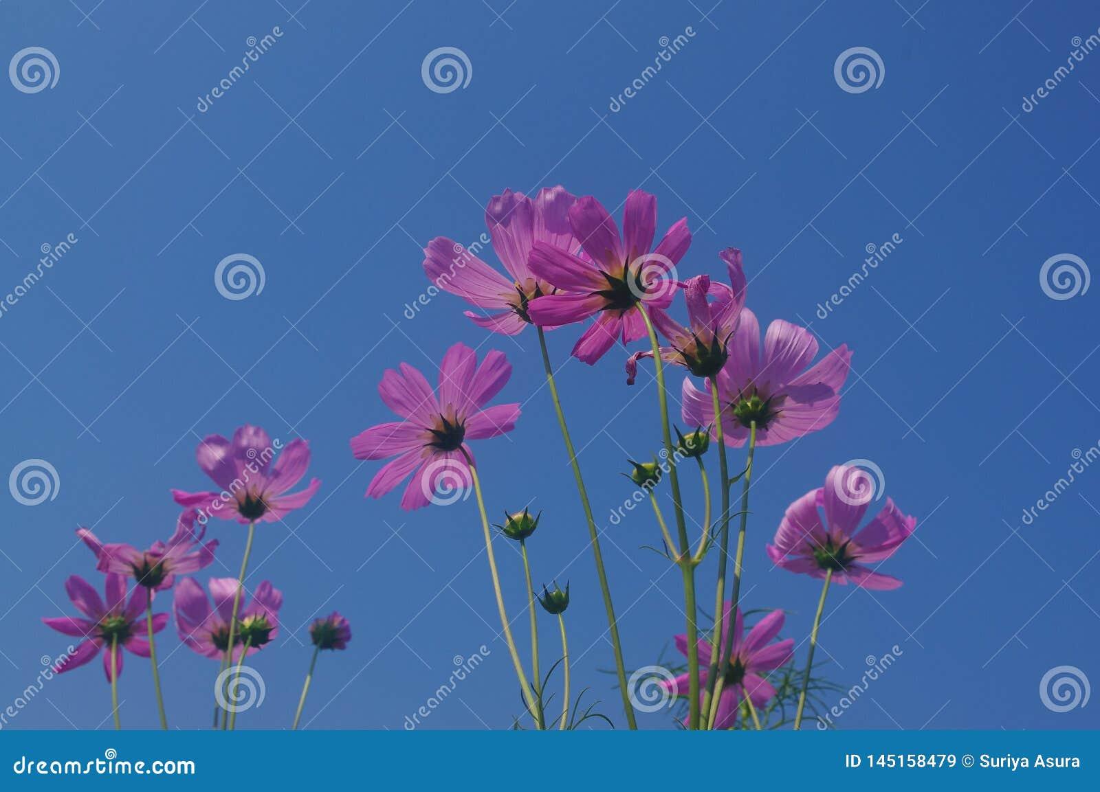 Różowi kosmosów kwiaty kwitną w pełnym kwiacie, współzawodniczy z niebem