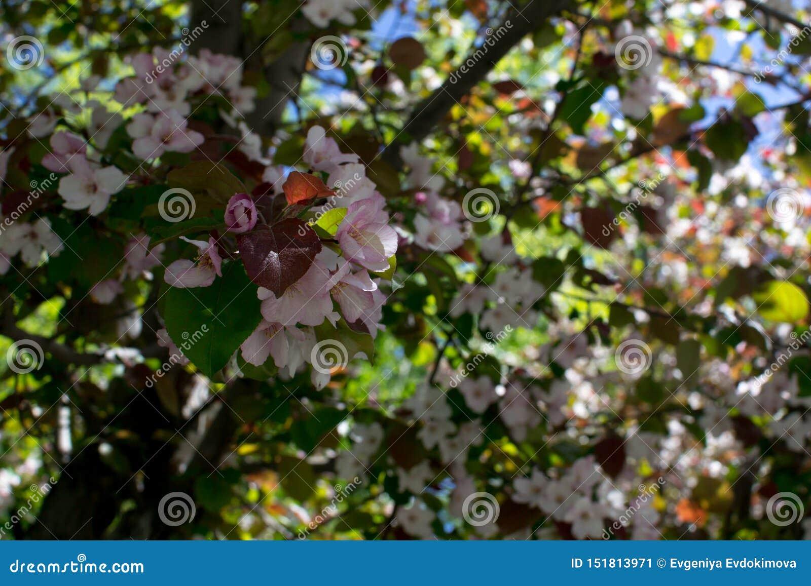 Różowi okwitnięcie zieleni i jabłoni liście