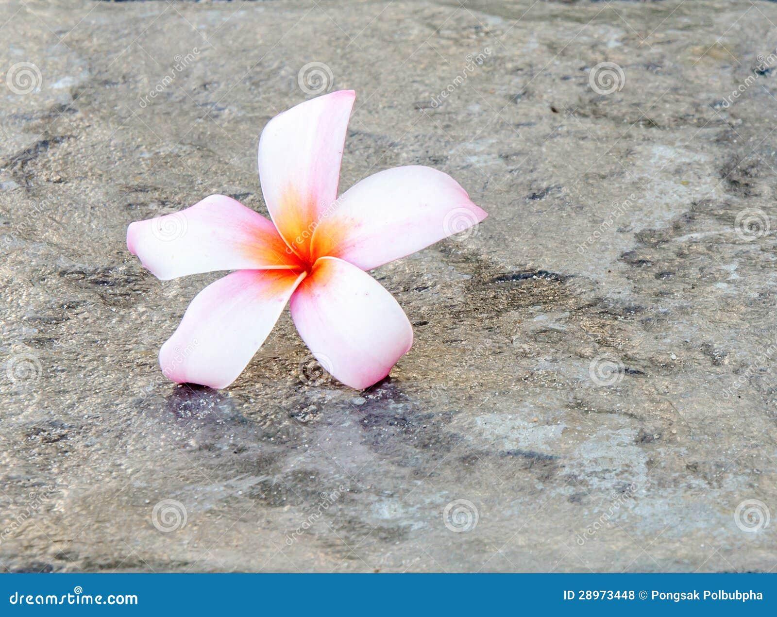 Różowi plumeria kwiaty