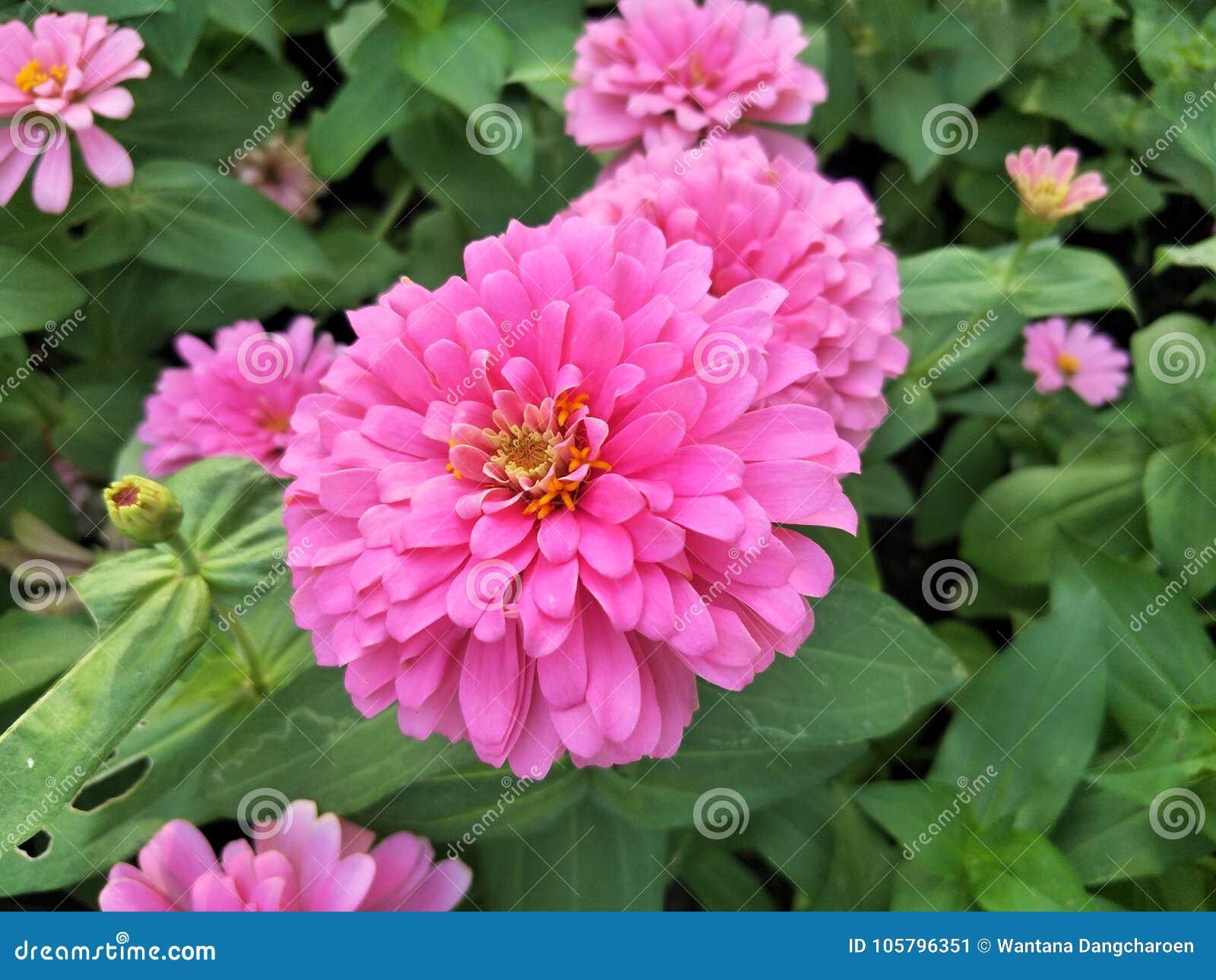Różowi zinnias kwitną