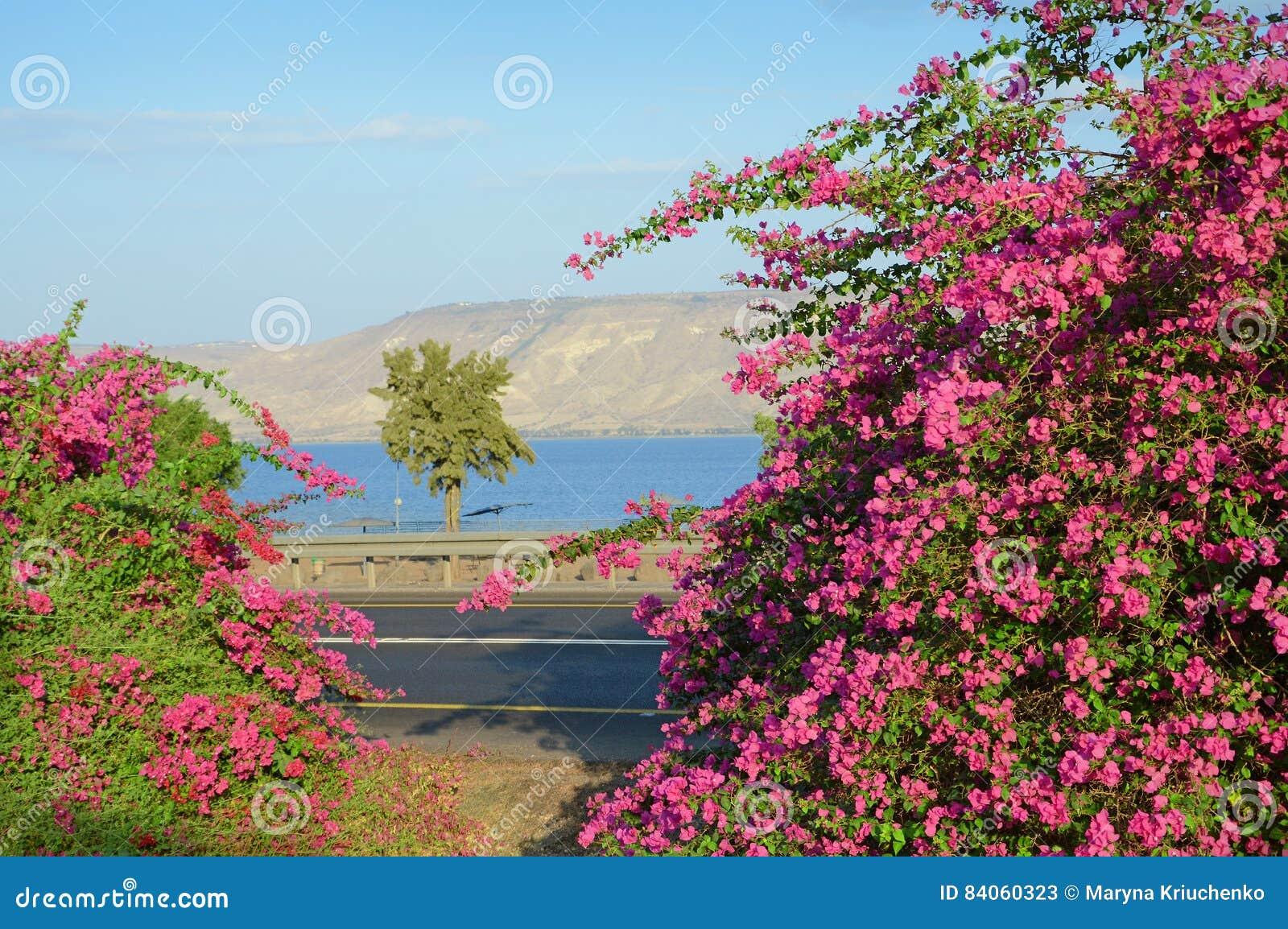 Różowy bougainvillea na brzeg Kineret, jezioro