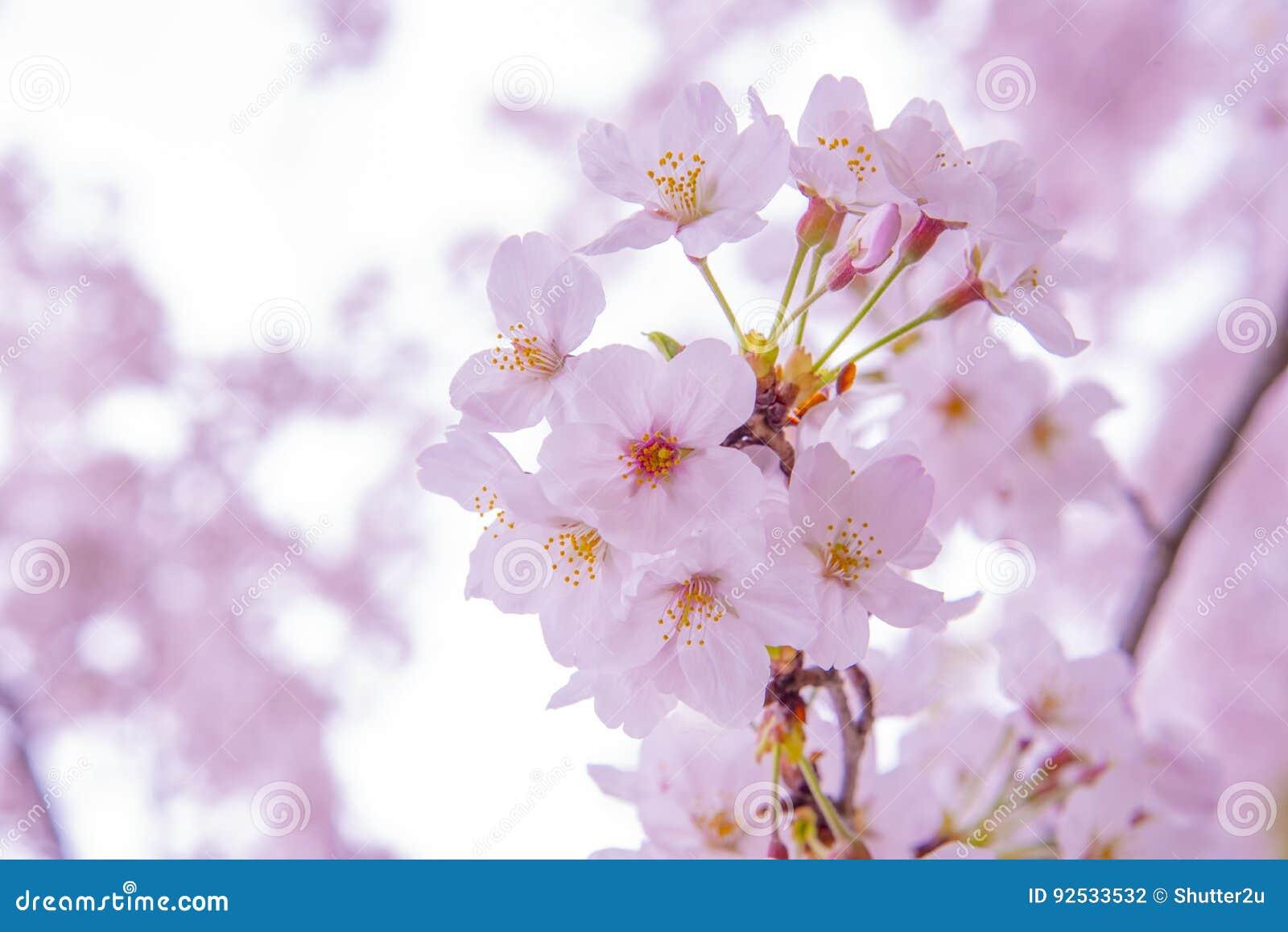 Różowy Czereśniowy Blossum Sakura, niska klarowność