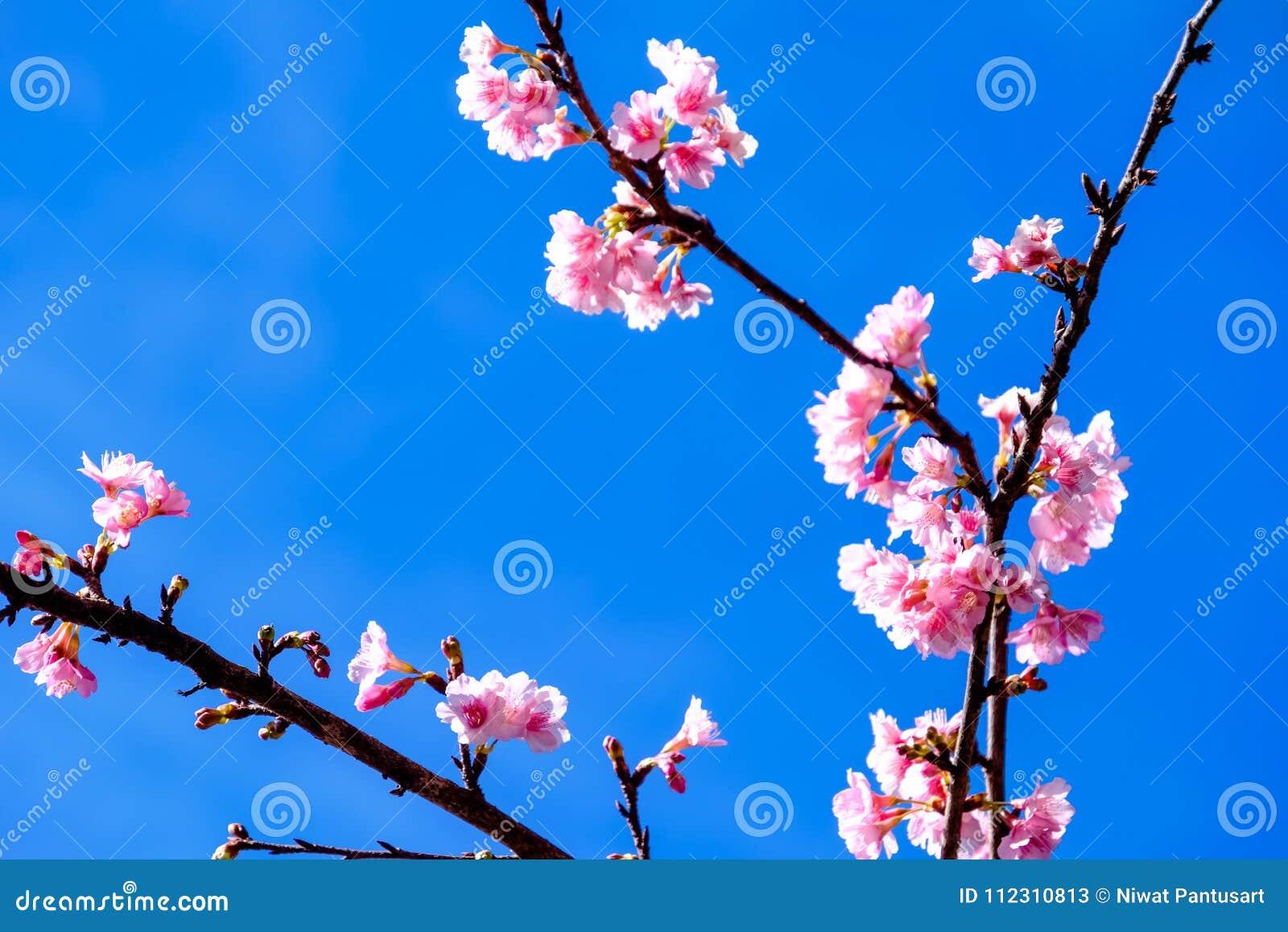 Różowy Czereśniowy okwitnięcie Przeciw niebieskiemu niebu