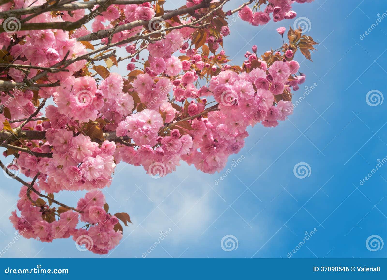 Download Różowy Czereśniowy Okwitnięcie Przeciw Niebieskiemu Niebu Zdjęcie Stock - Obraz złożonej z okwitnięcie, przyrost: 37090546