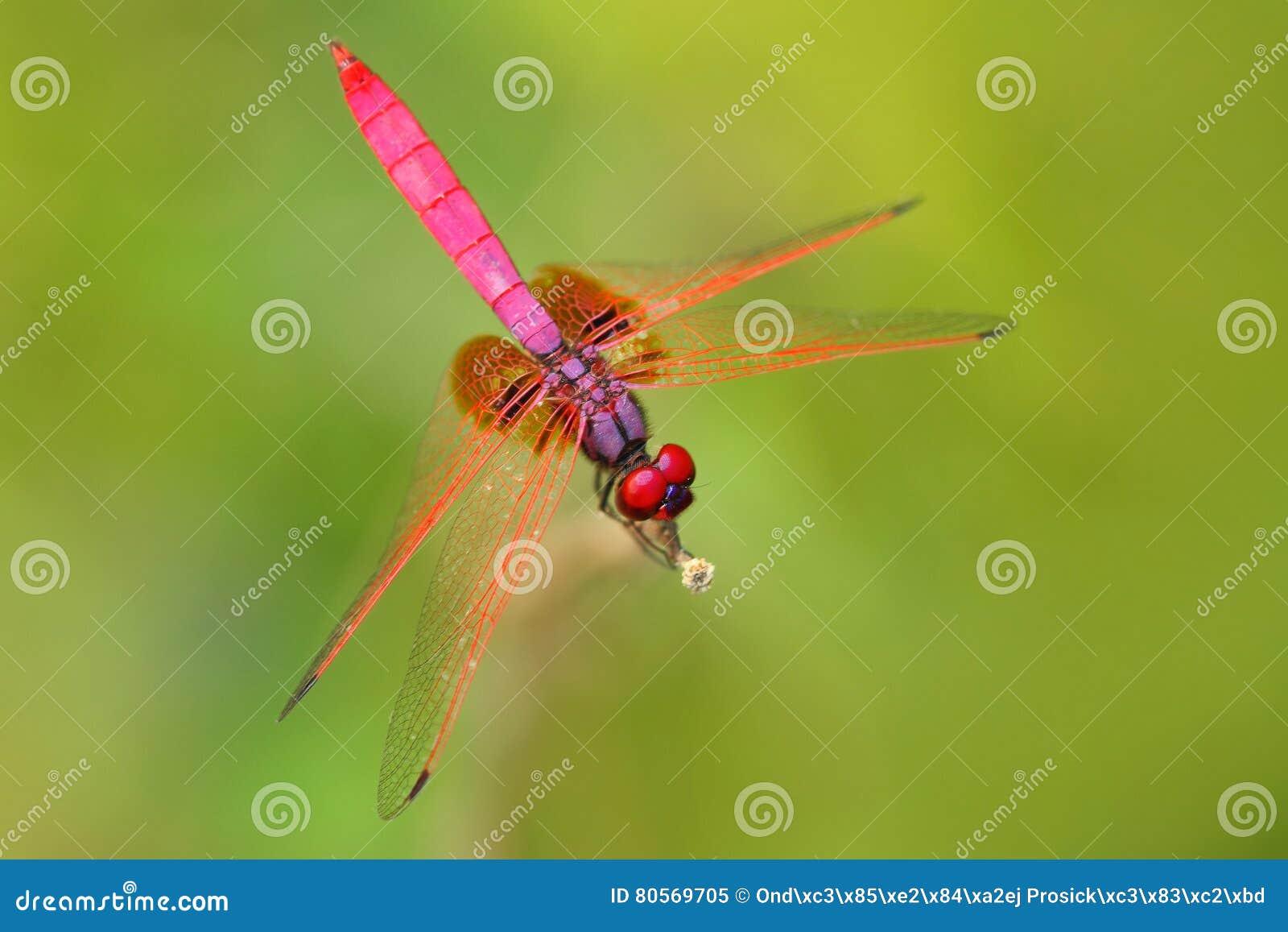 Różowy dragonfly od Sri Lanka Ciemnopąsowy dropwing, Trithemis zorza, siedzi na zielonych liściach Piękna smok komarnica w naturz