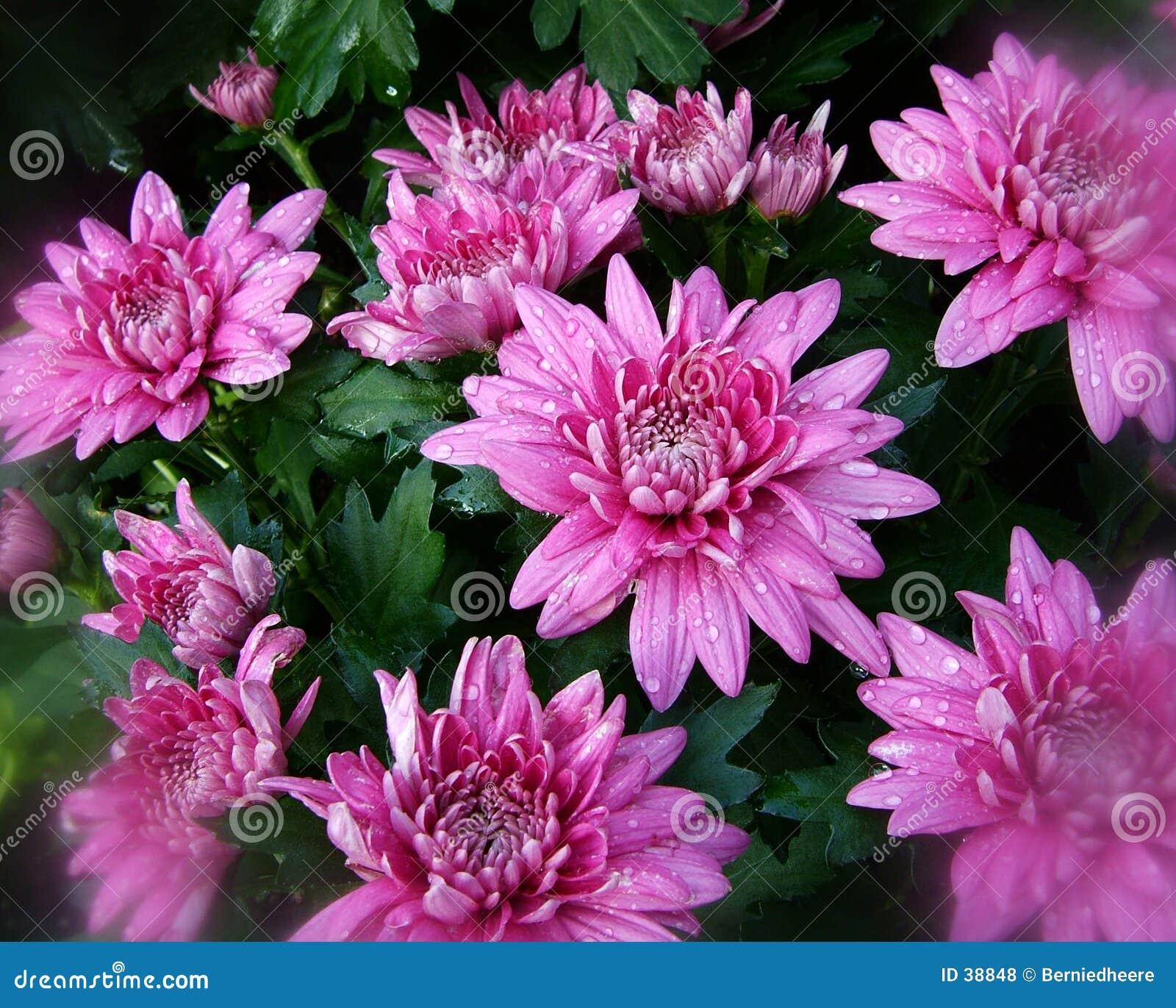 Różowy falls 1 kwiatów