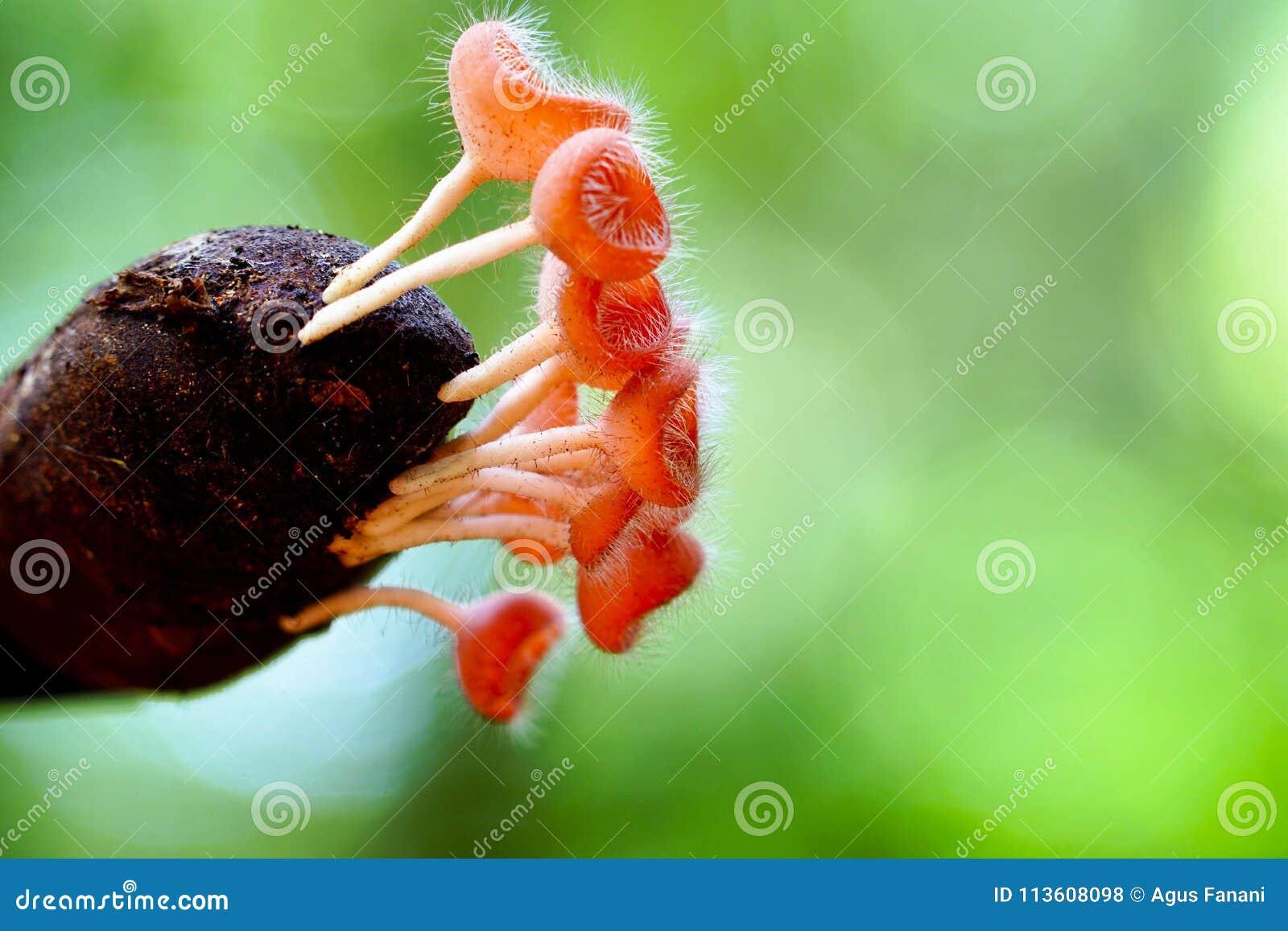 Różowy filiżanka grzyb r w dzikim