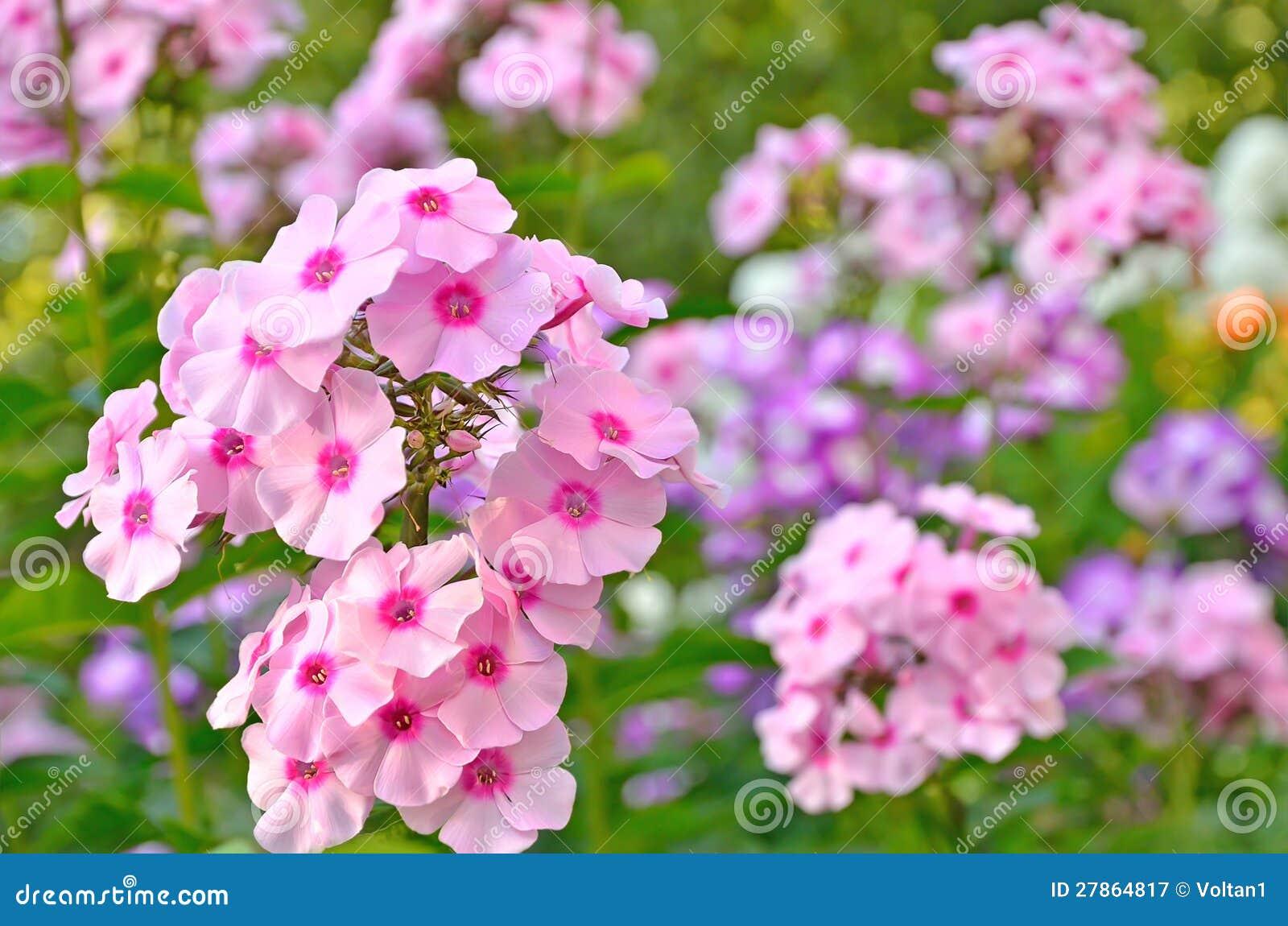 Różowy floks