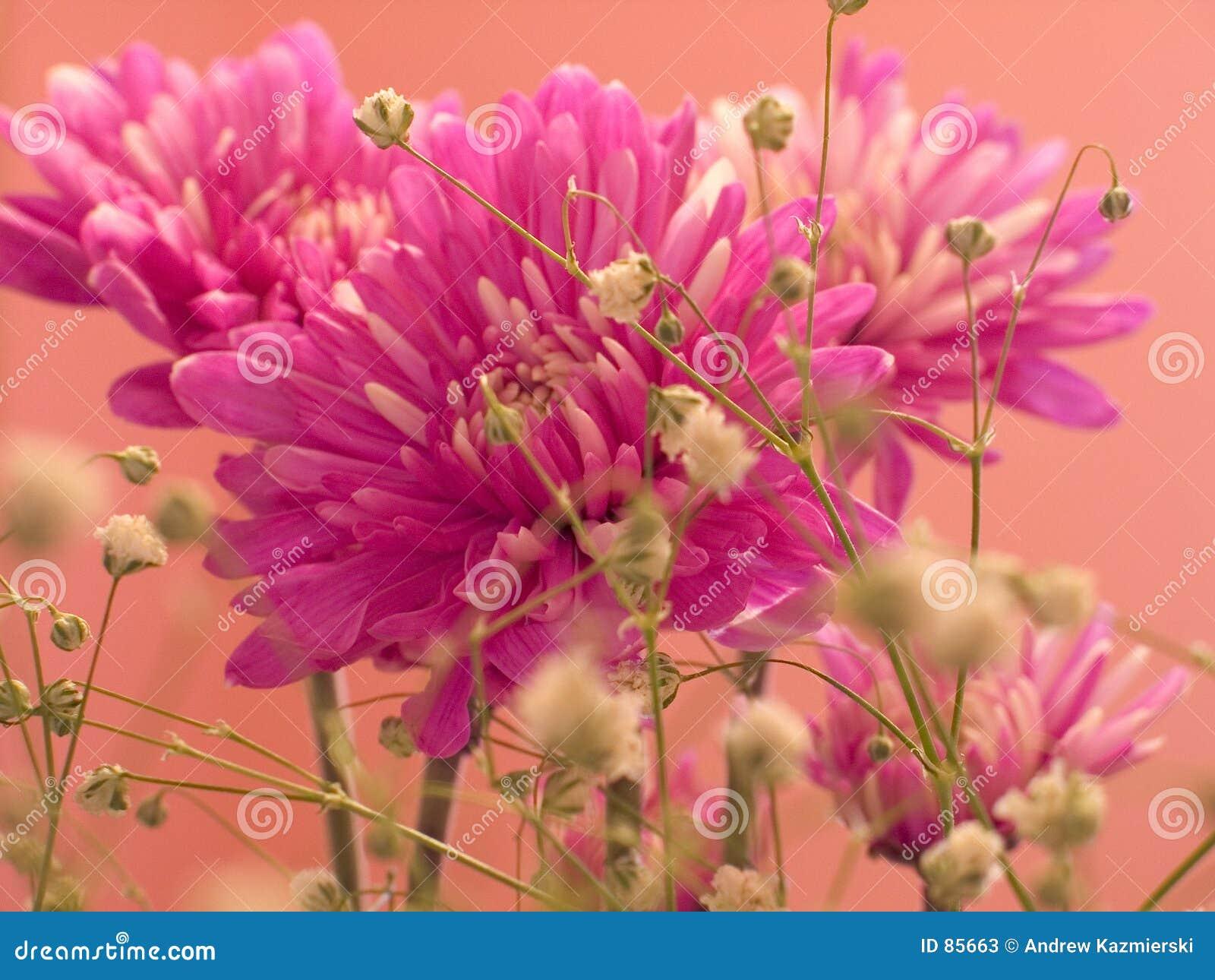 Różowy goździk